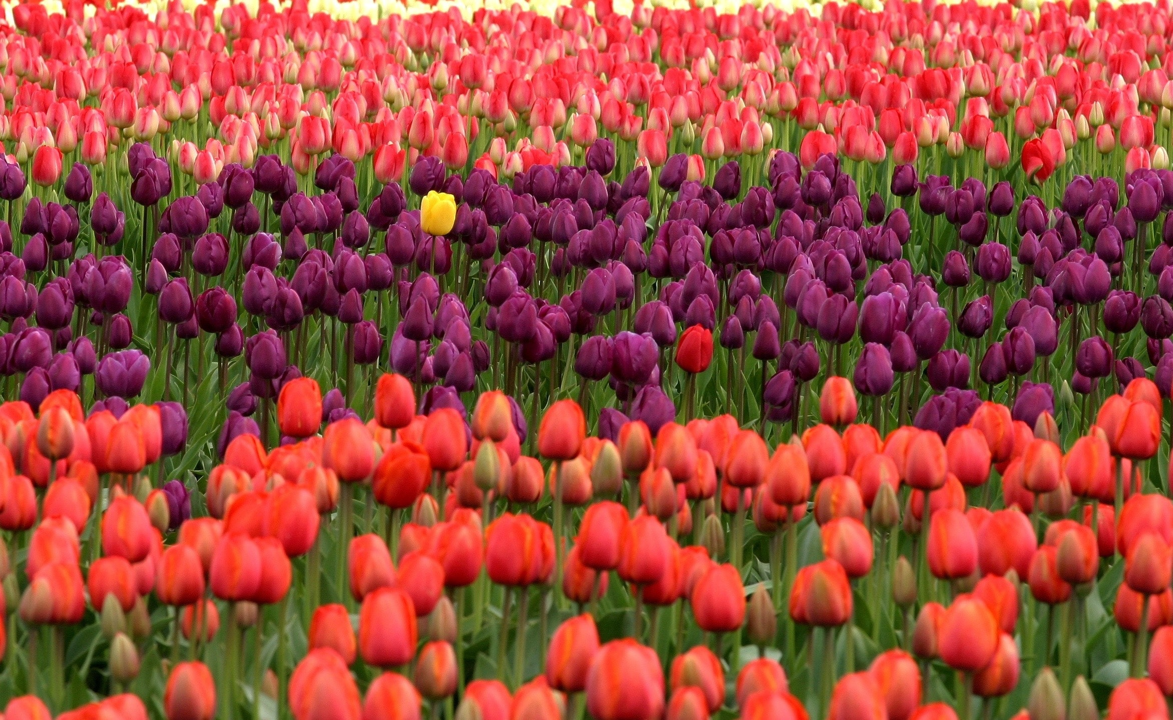 Red and purple flower field photo