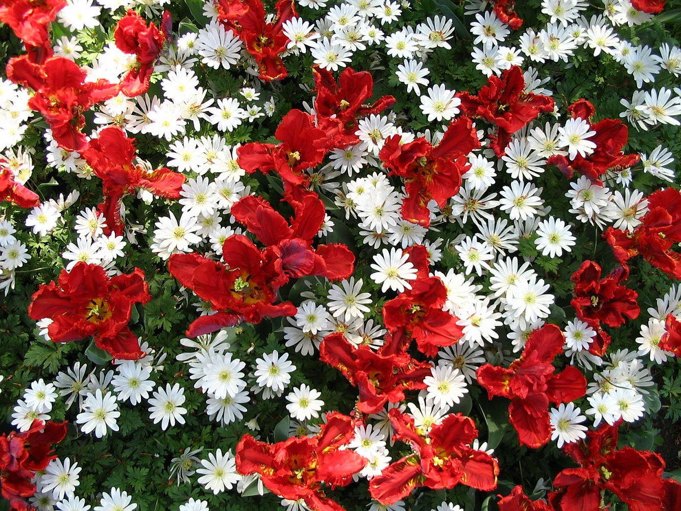 Free Photo Red And White Flowers White Red Flowers Free