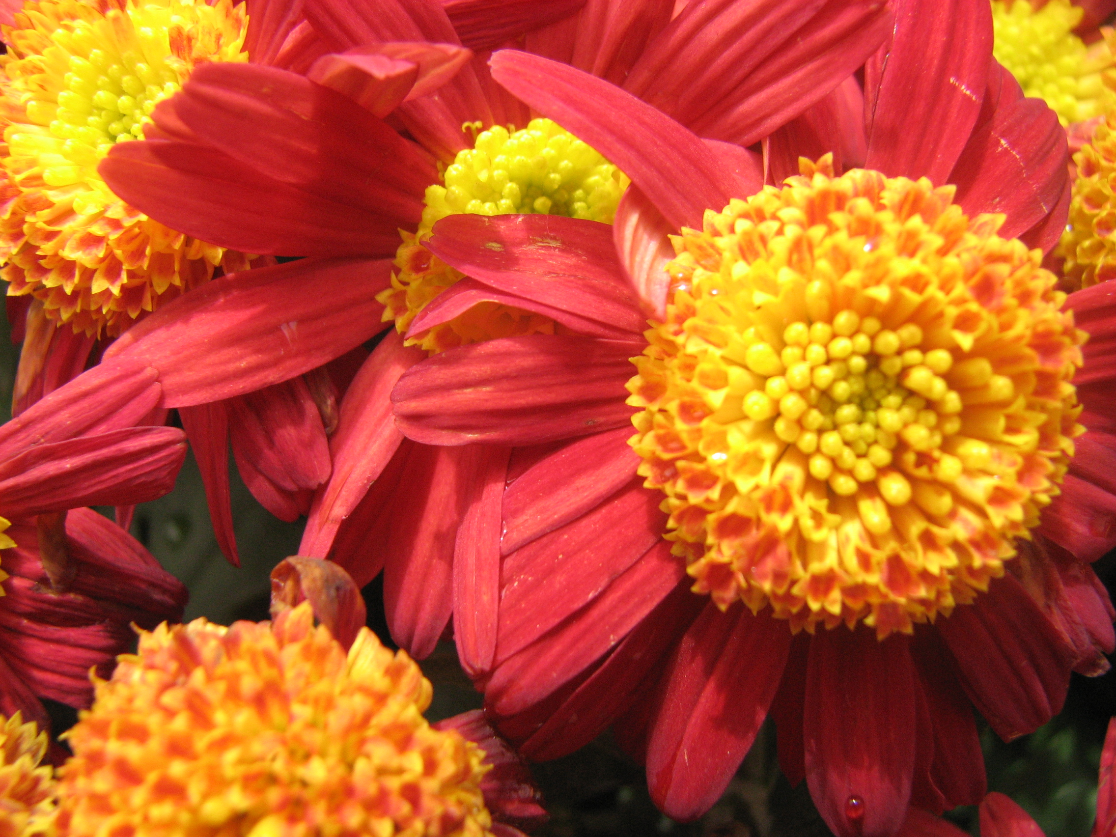 Free Photo Red And Yellow Flowers Red Yellow Petals Free