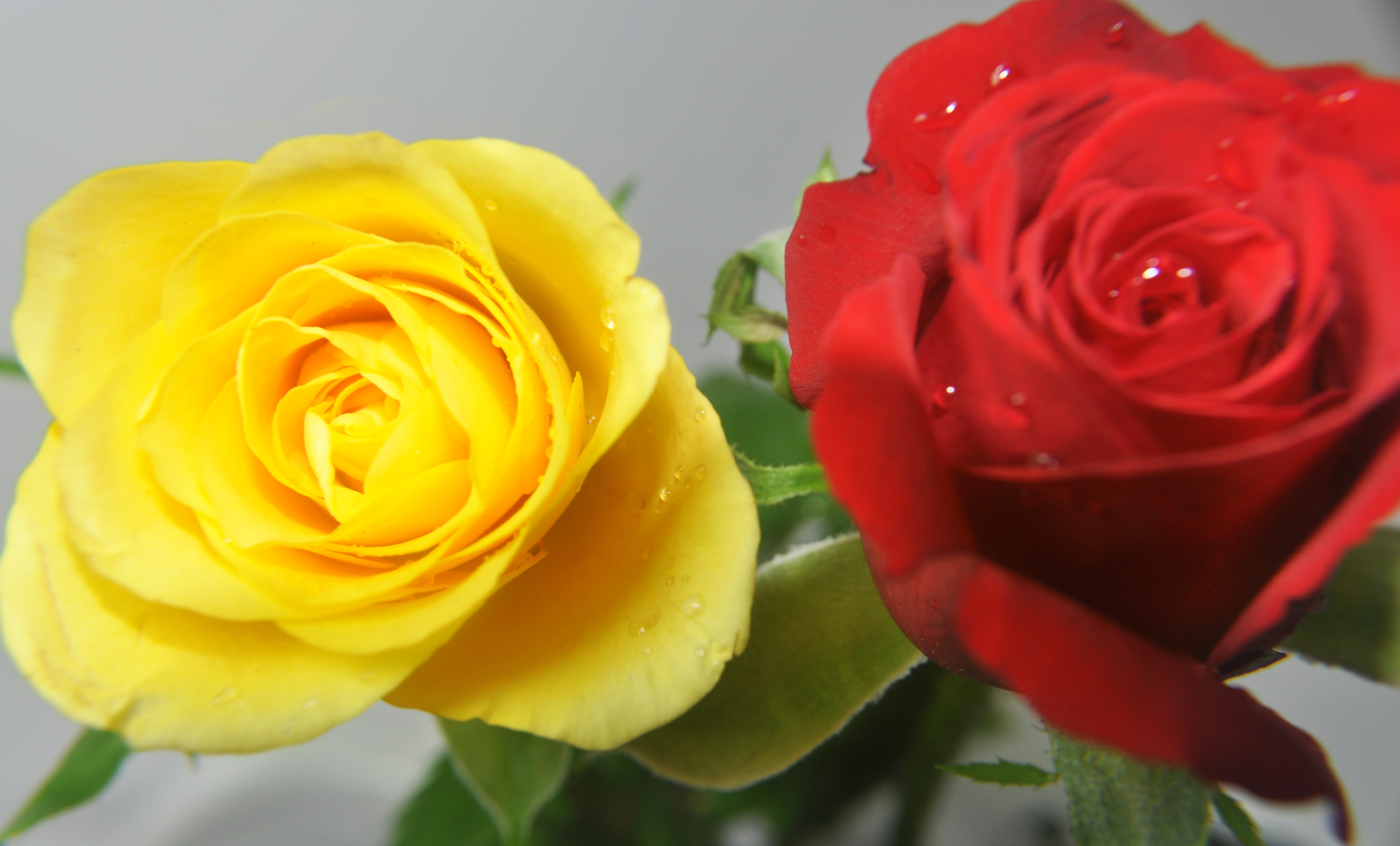 Free Photo Red And Yellow Roses Rose Yellow Flowers Free