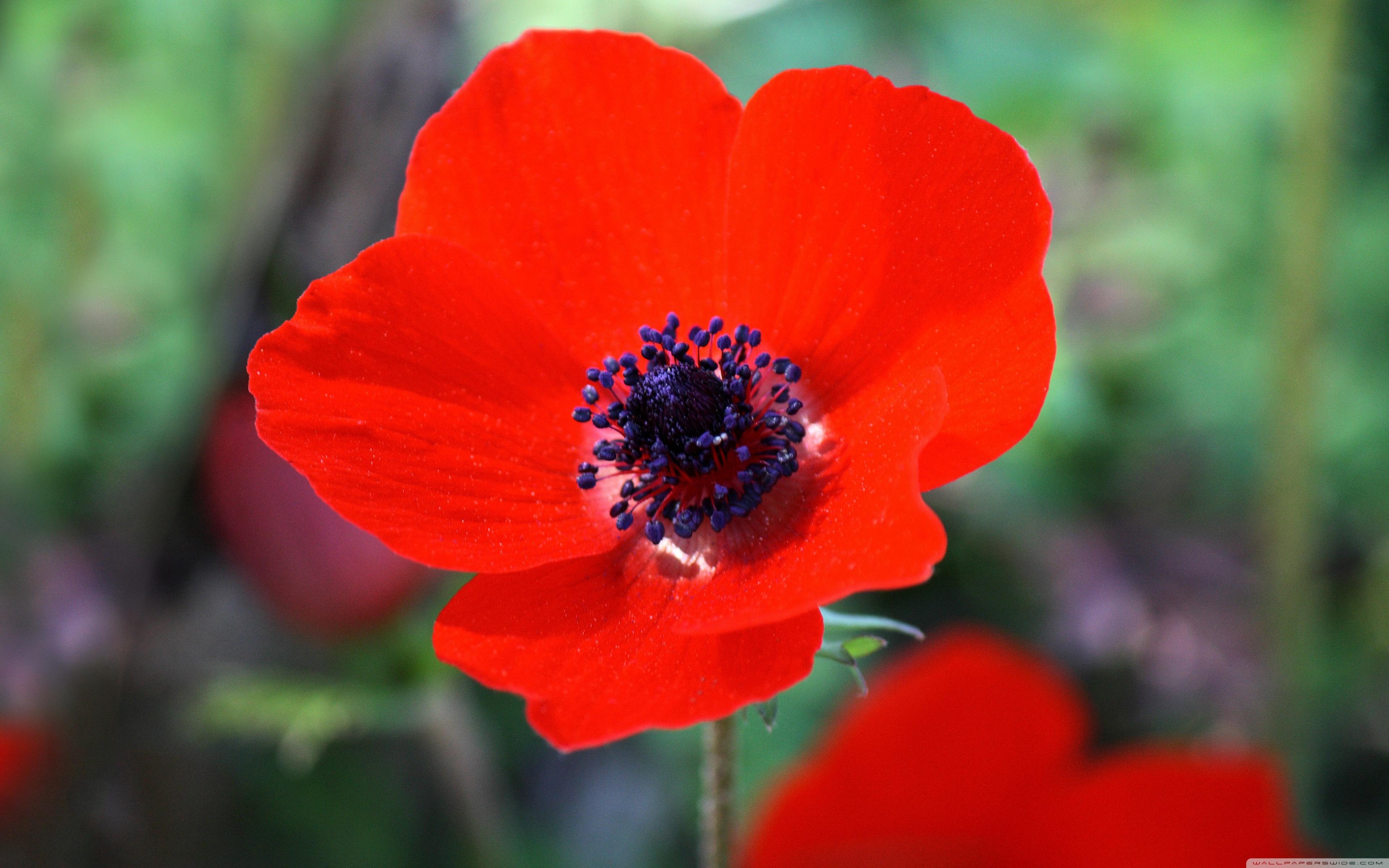 Red anemone flower photo