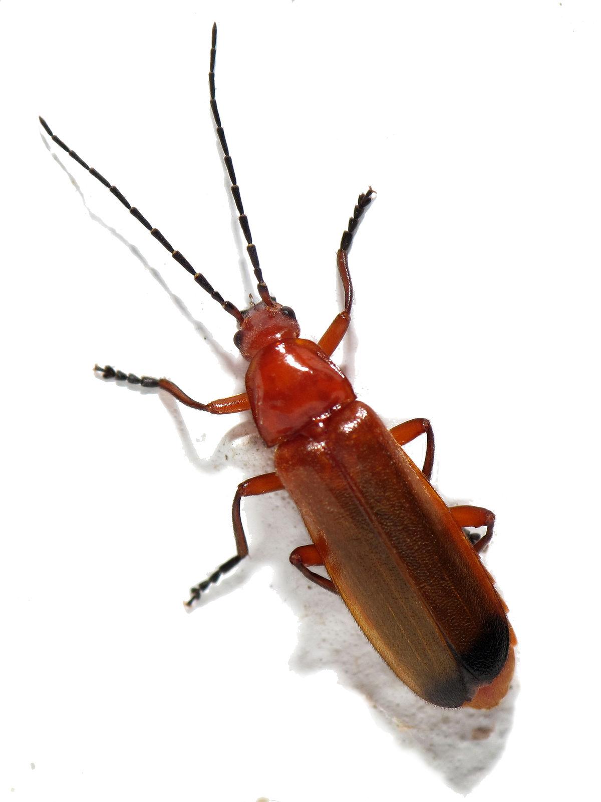 Soldier beetle photo