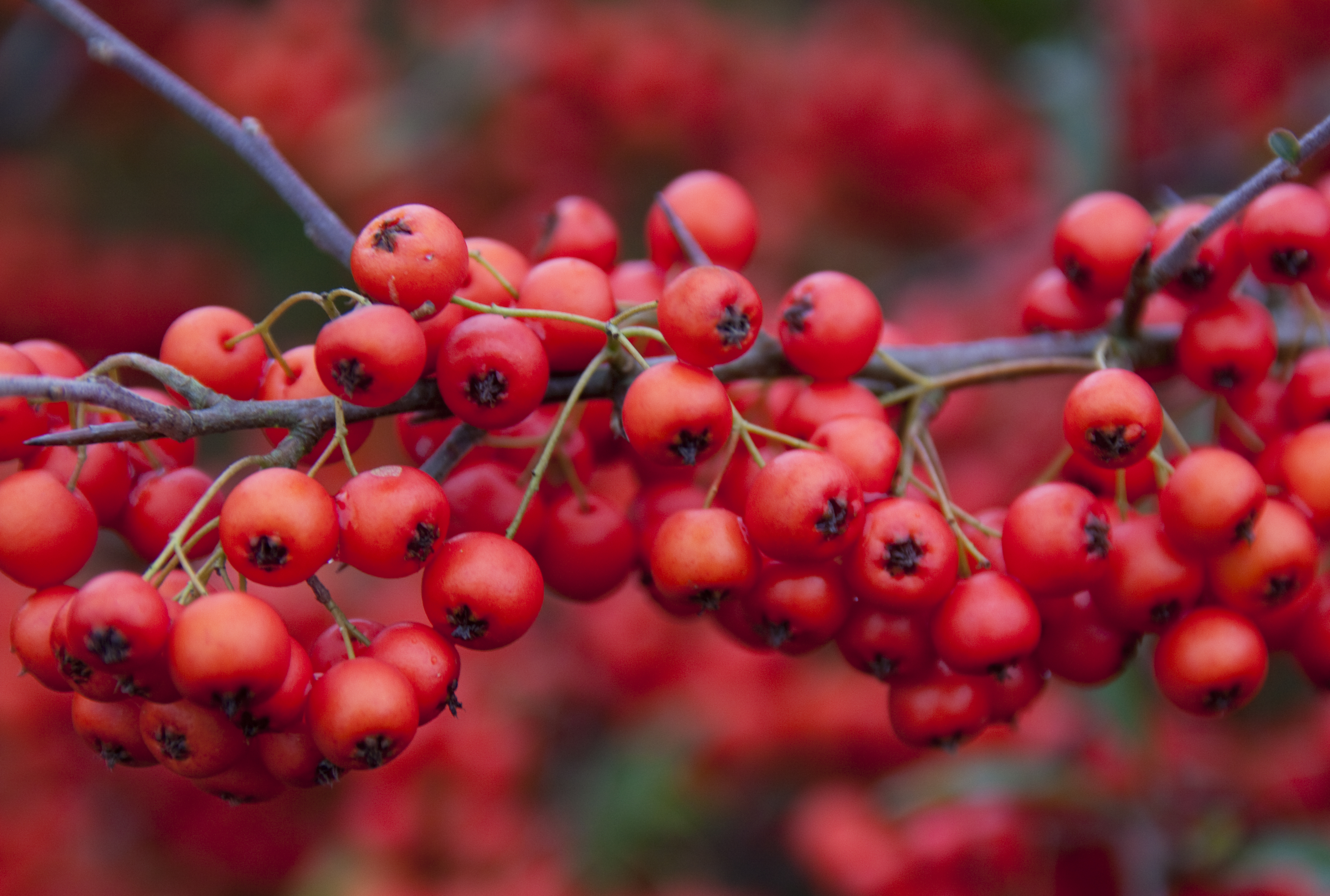 Red berries photo