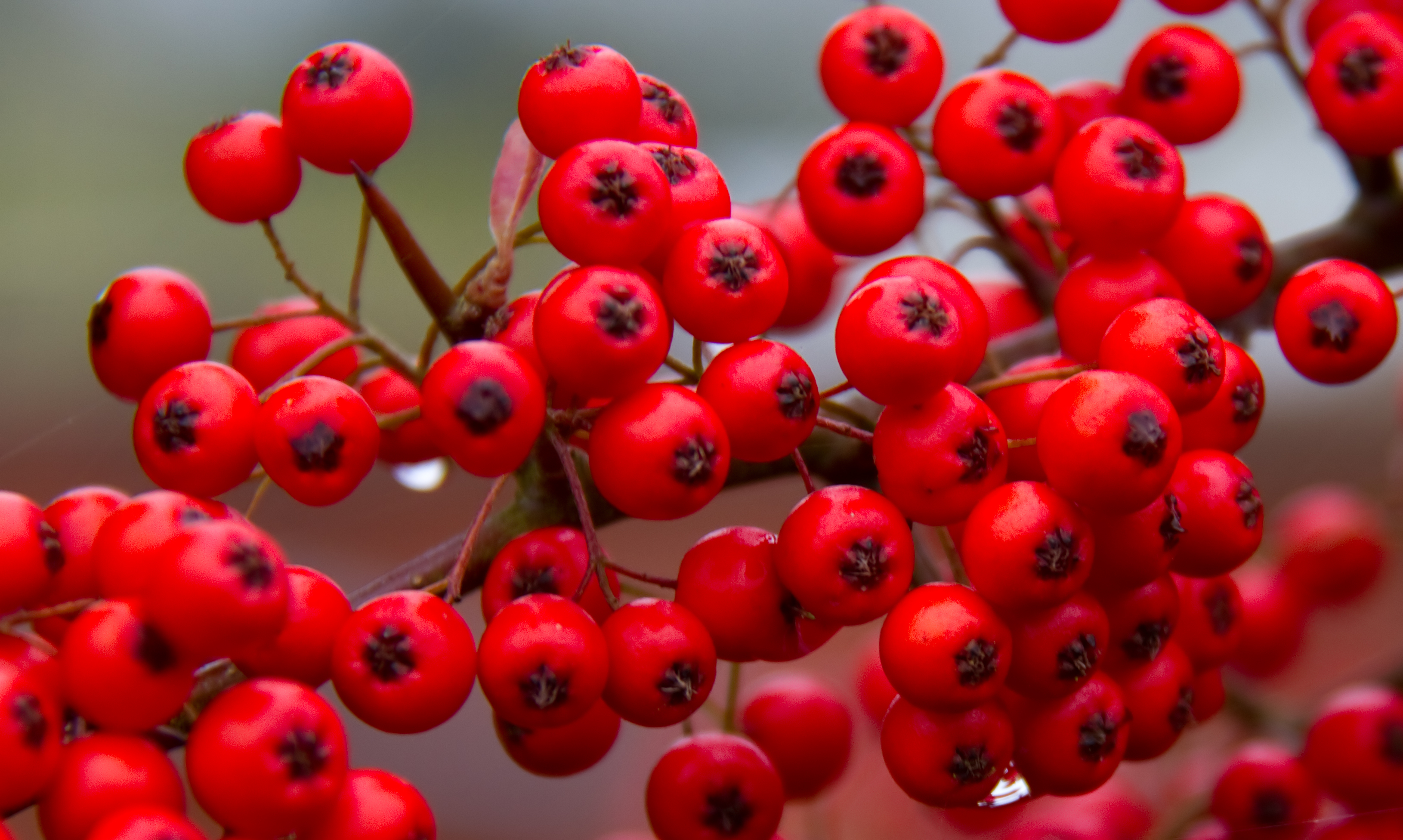 File:Red Berries (8119043808).jpg - Wikimedia Commons