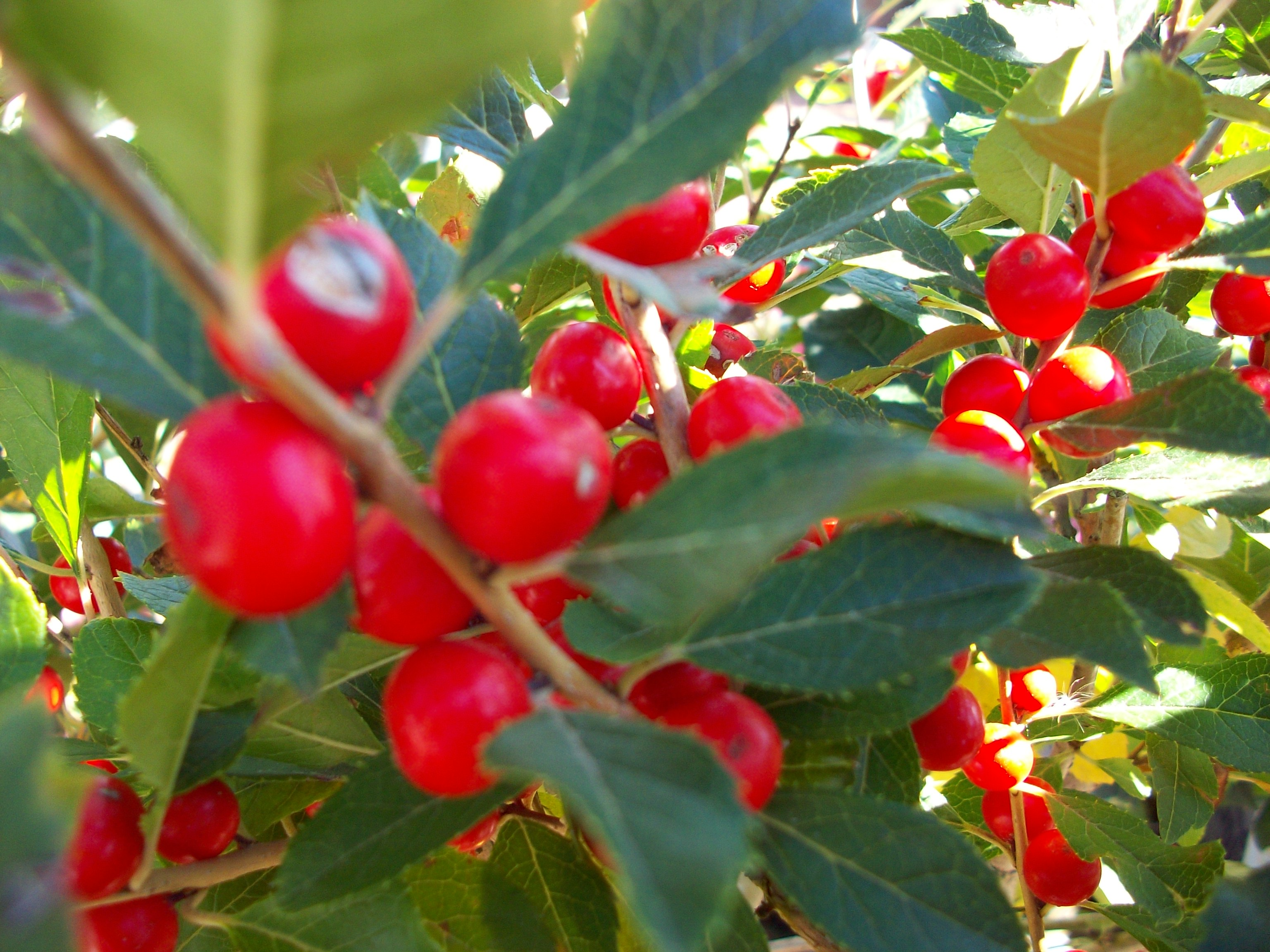 Berries for Fall and Winter- Schmalz Landscaping
