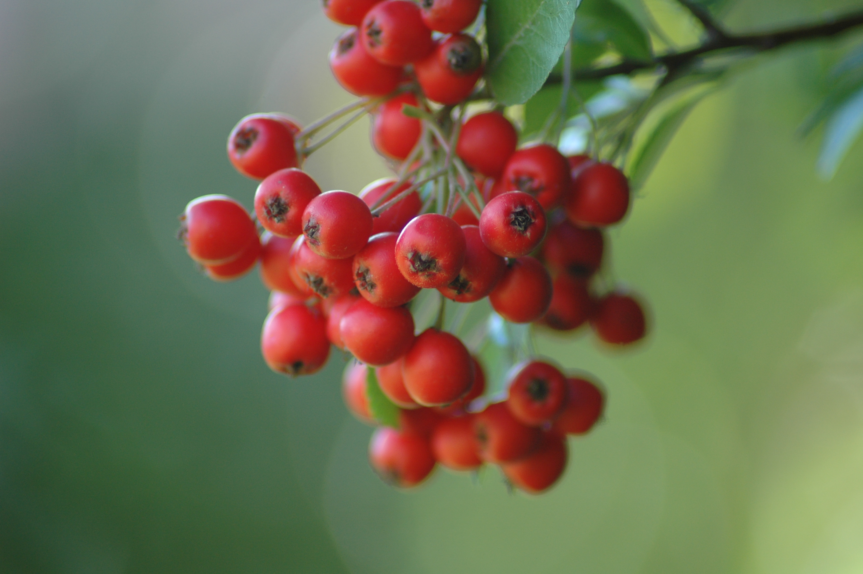 File:Red berry.jpg - Wikimedia Commons