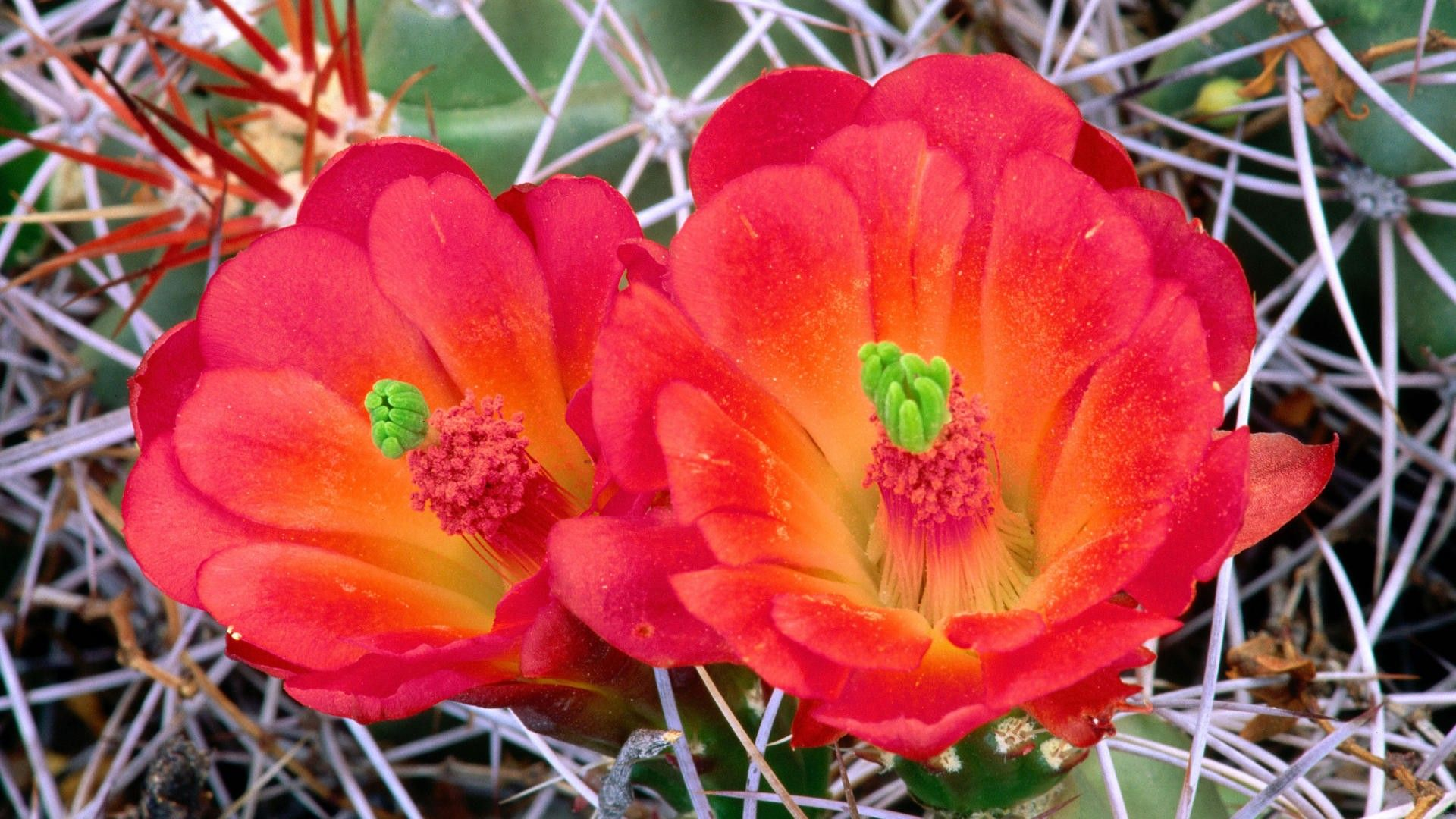 cactus-macro-cactus-flowers-fresh-new-hd-wallpaper.jpg (1920×1080 ...