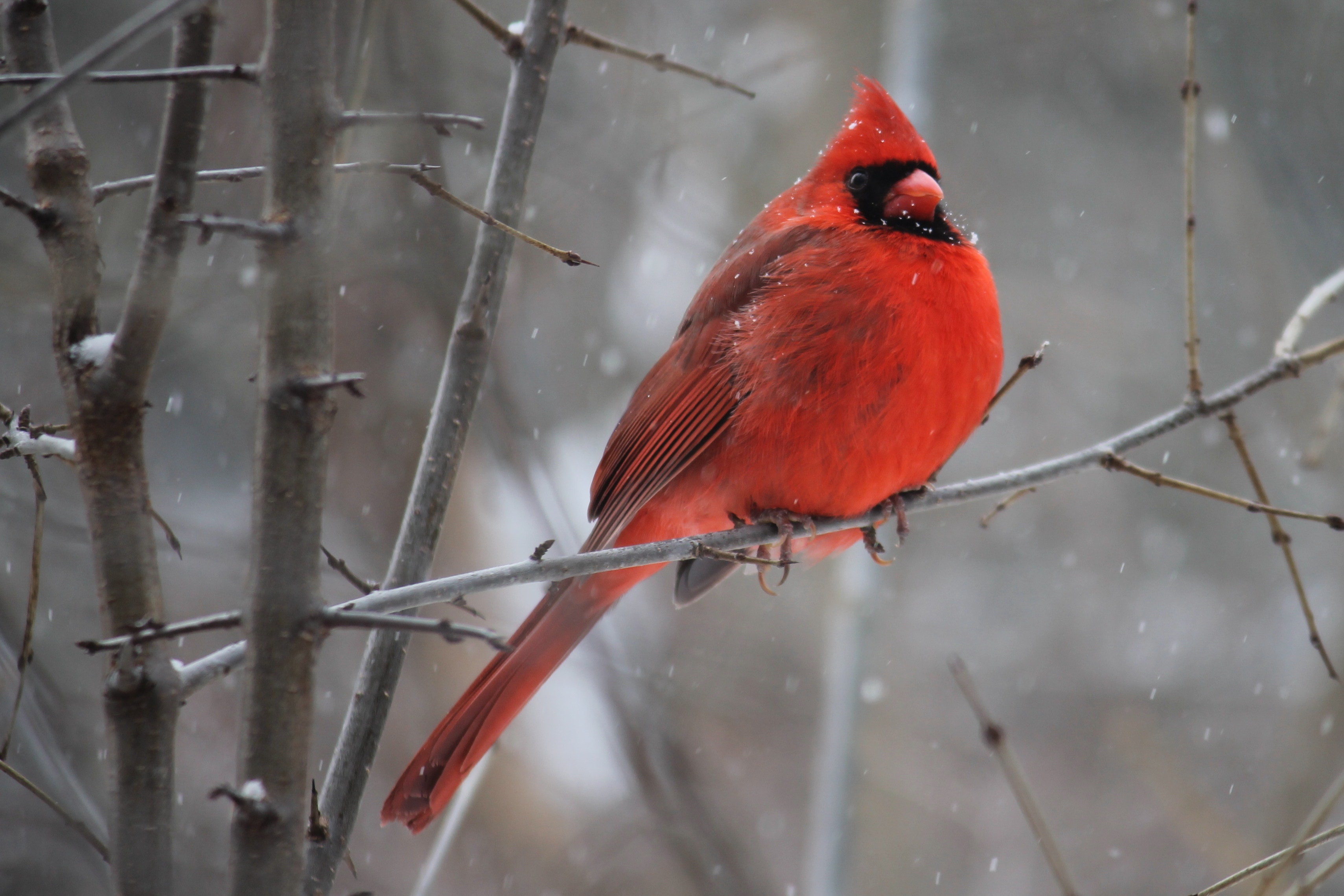 Red cardinal bird on tree branch photo