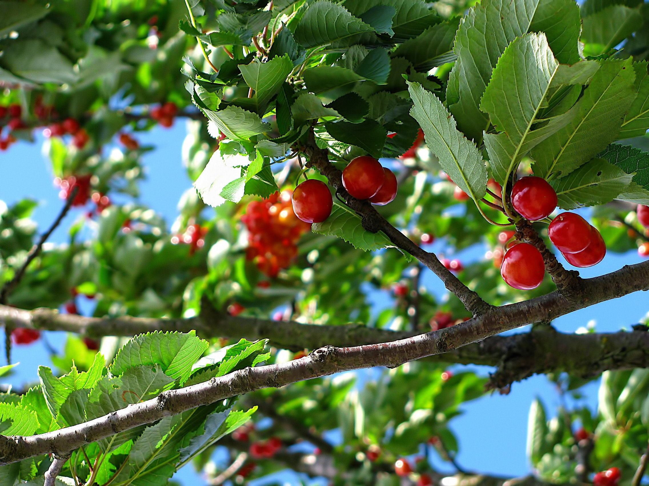Red cherry fruit on brown tree branch photo