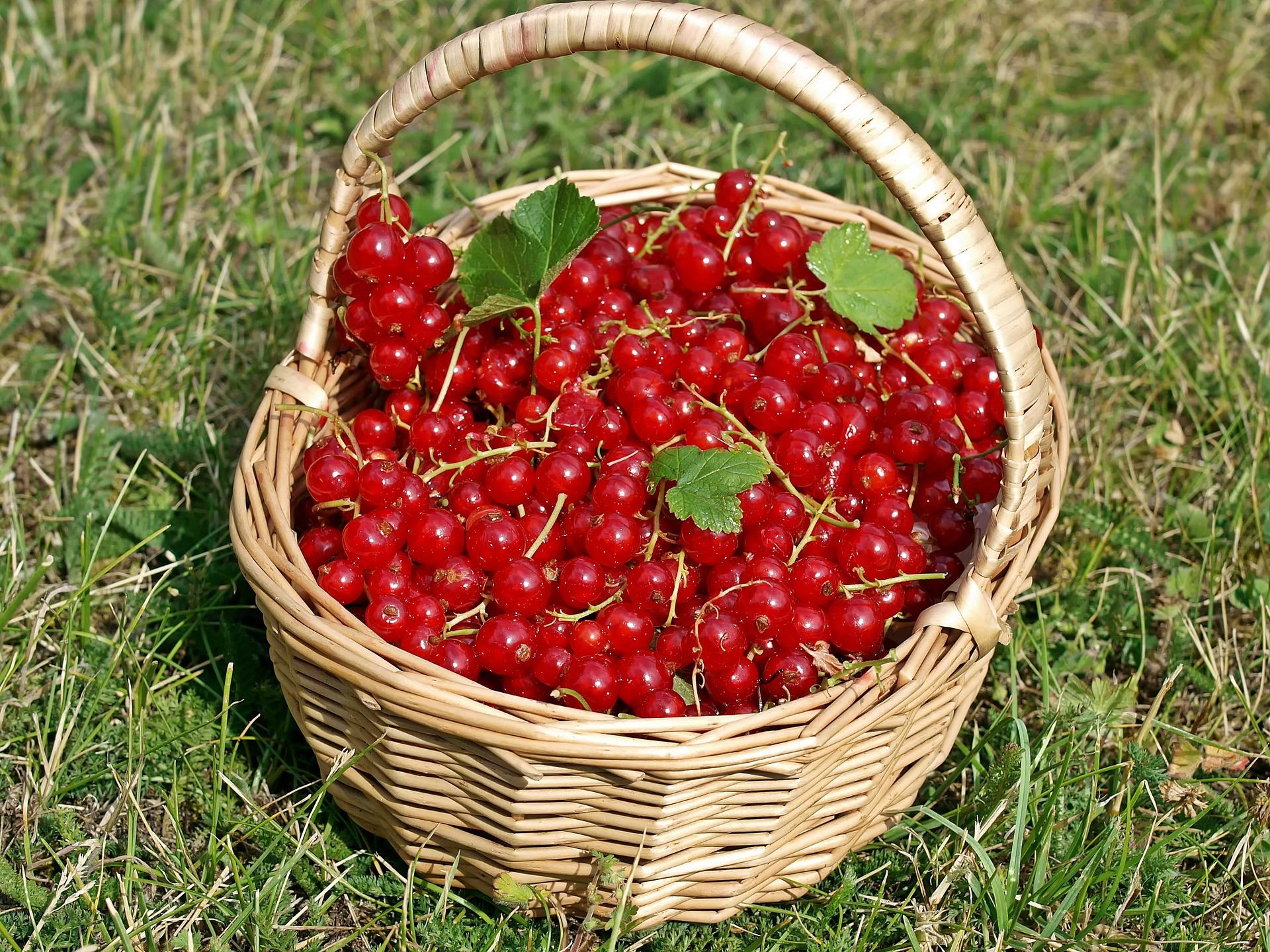 Red Currants, Basket, Currants, Food, Fruit, HQ Photo