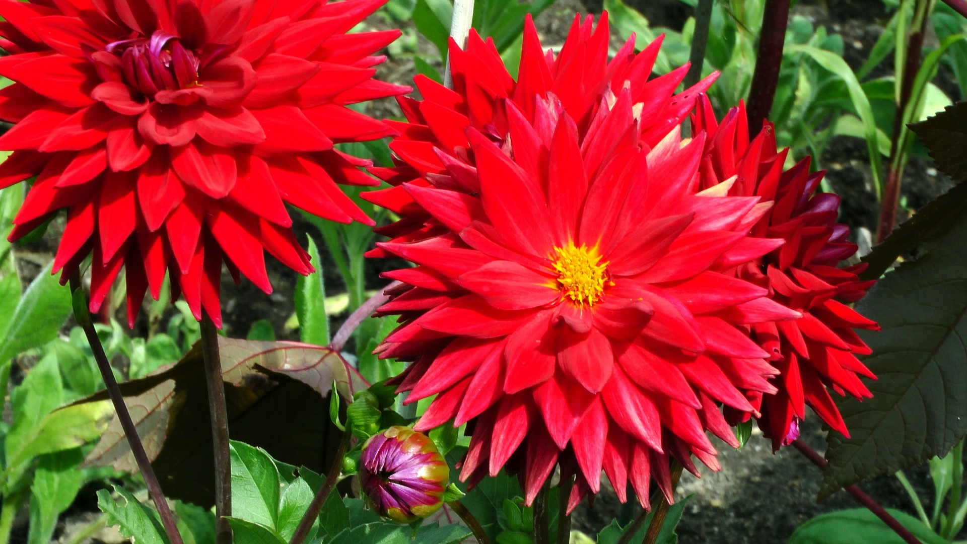 Free Photo Red Dahlia Flower Petals Plant Red Free Download