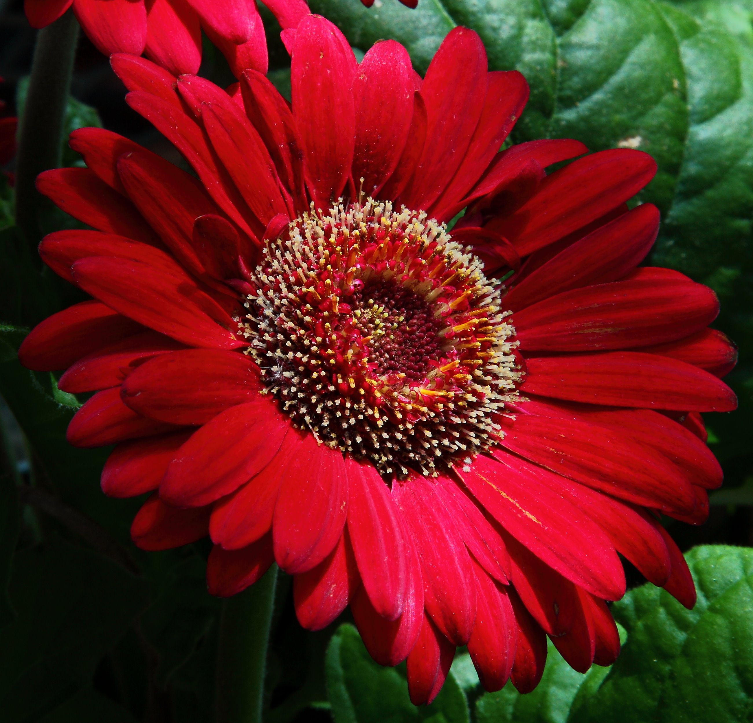 File:Large-red-daisy - Virginia - ForestWander.jpg - Wikimedia Commons