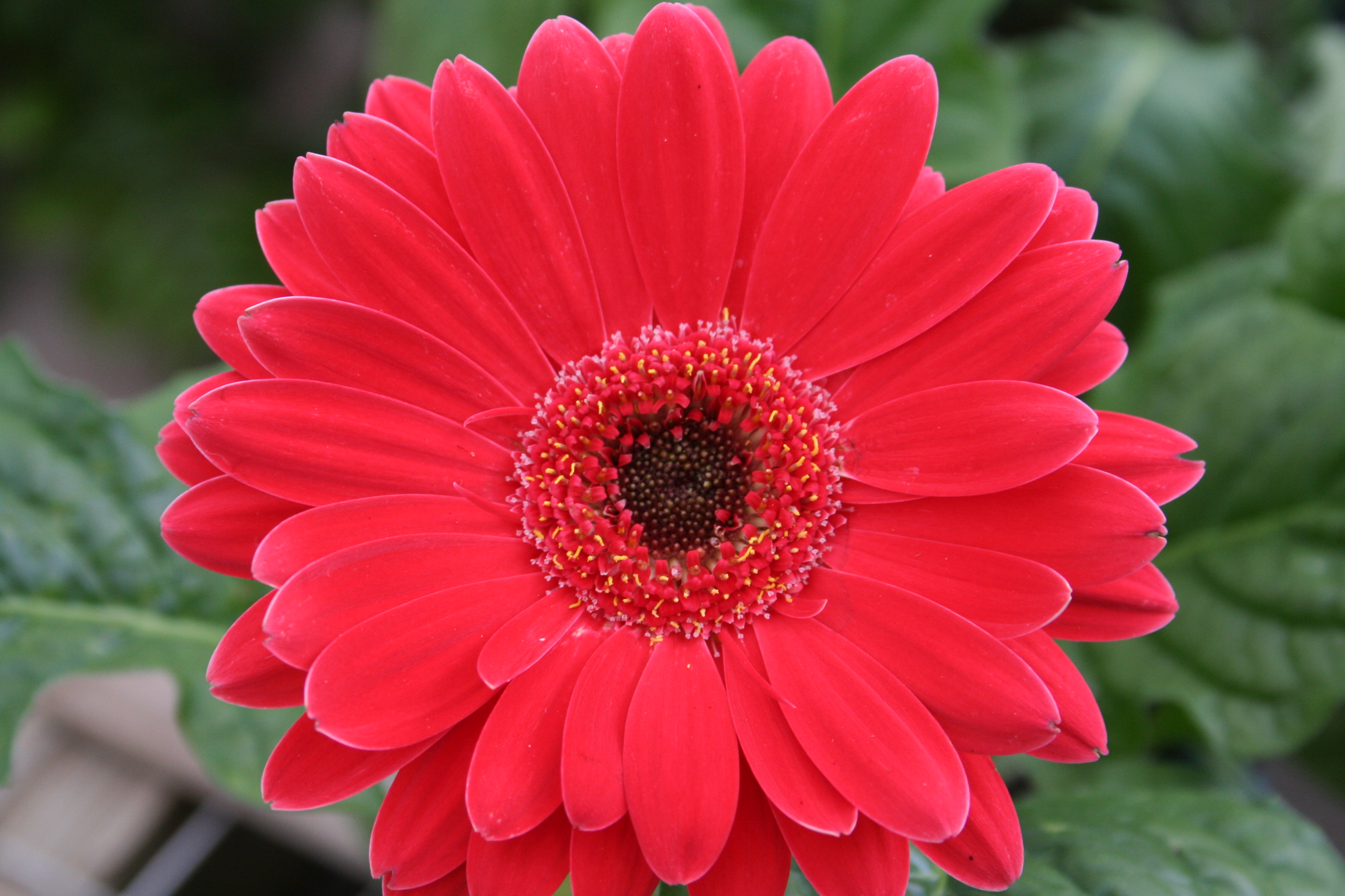 Red Daisy Flower | Flowers| Free Nature Pictures by ForestWander ...