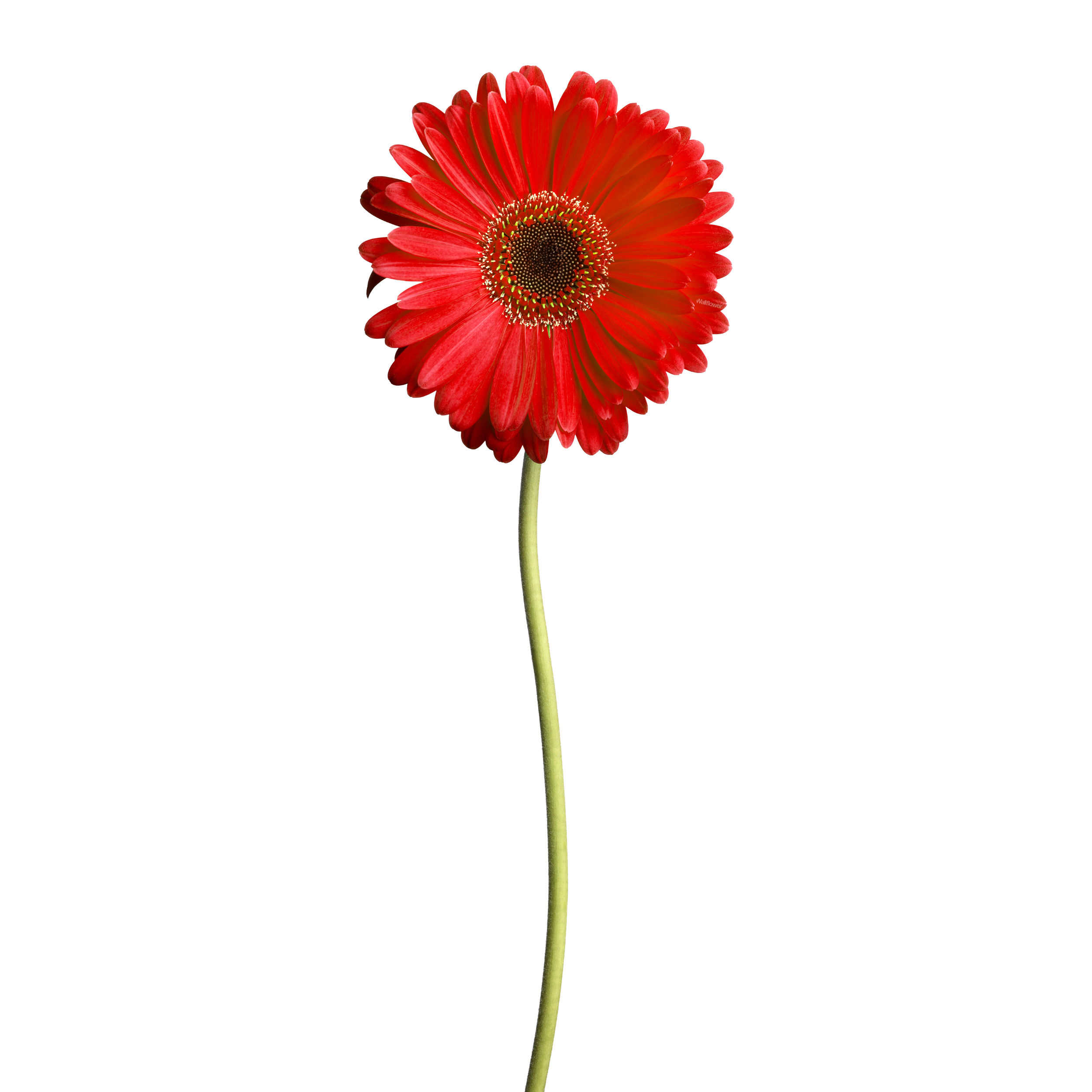 Red Daisy - Wallflower Decals - Touch of Modern