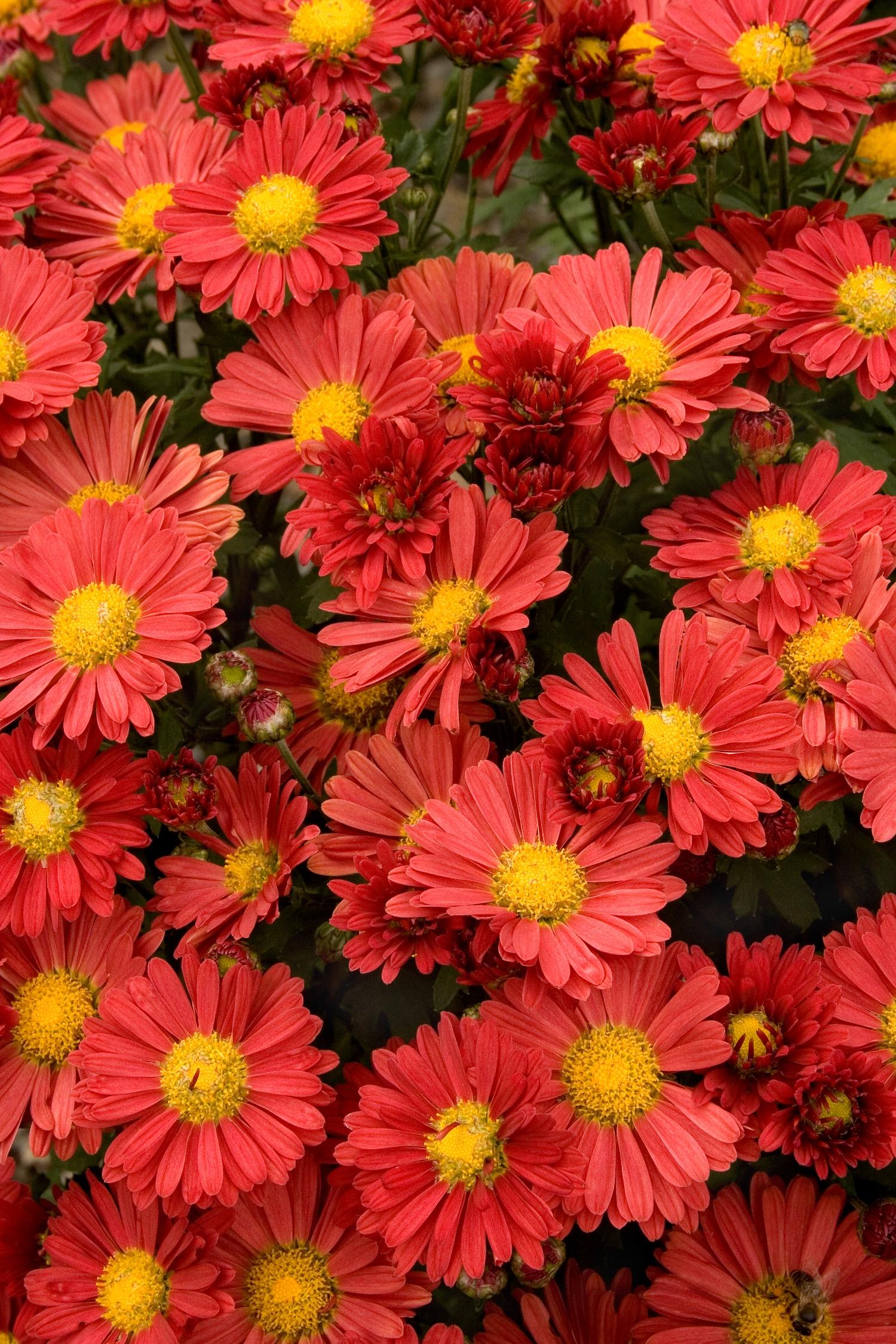 Mammoth™ Red Daisy Garden Mum - Monrovia - Mammoth™ Red Daisy Garden Mum