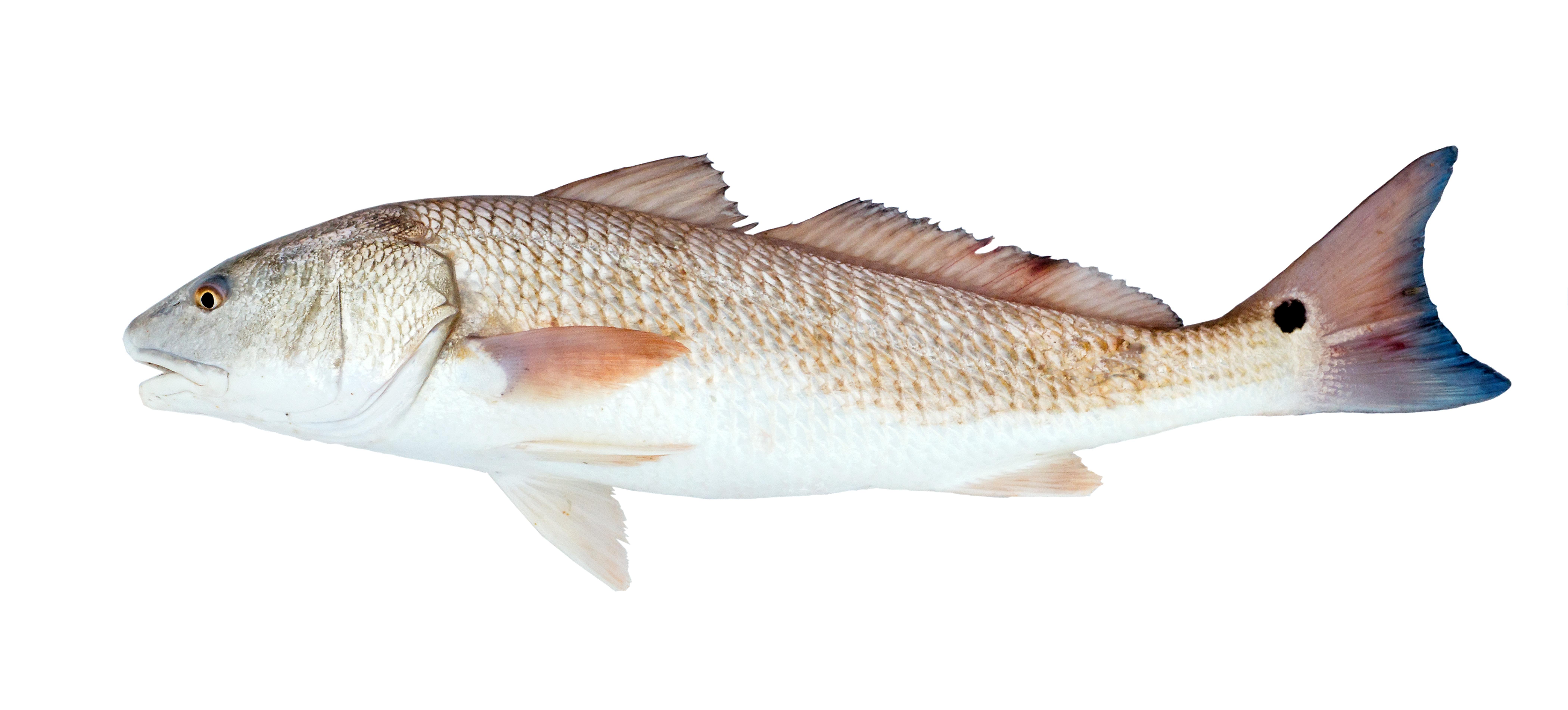 Red Drum Skin-On & Skinless Fillets | Stavis Seafoods
