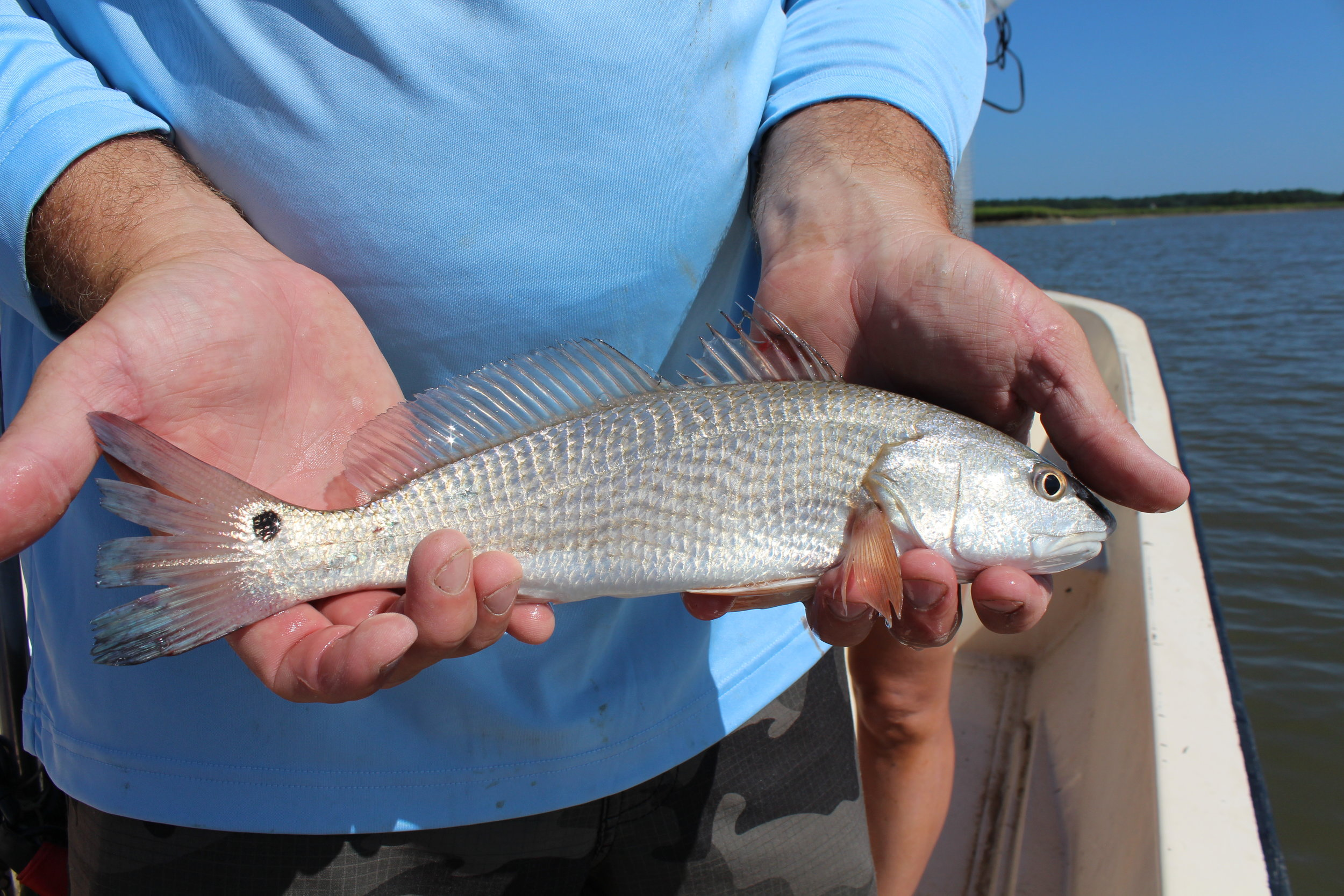 Q&A with a Red Drum Researcher — South Carolina Coastal Resources