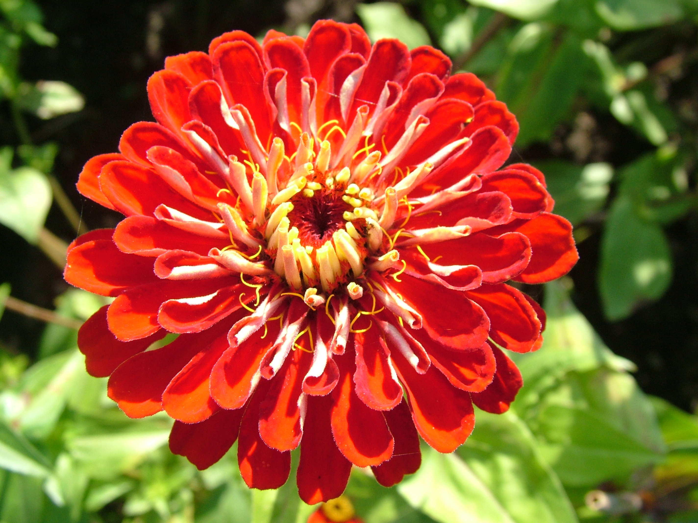 Free 7art flowers clipart and wallpapers: royalty free zinnia-red ...
