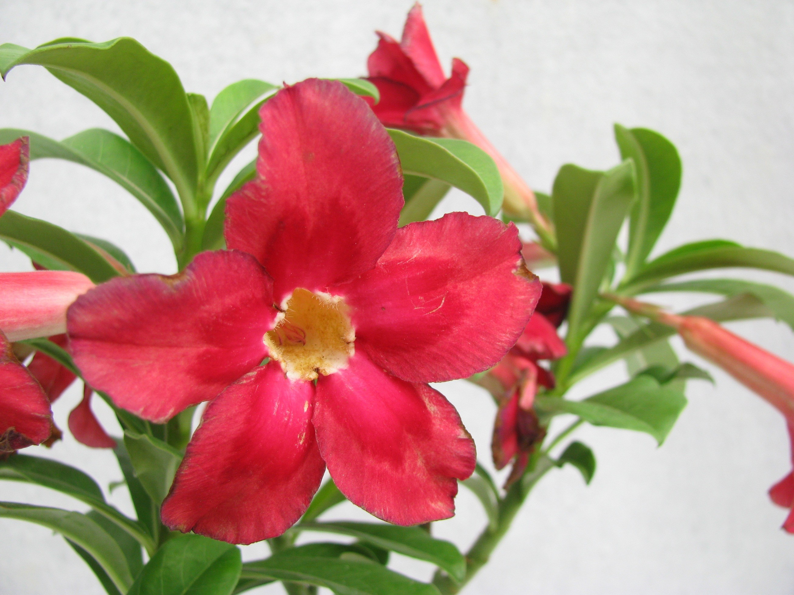 Adeniums Plant (Red) | Shop Online Nursery Plants in India ...