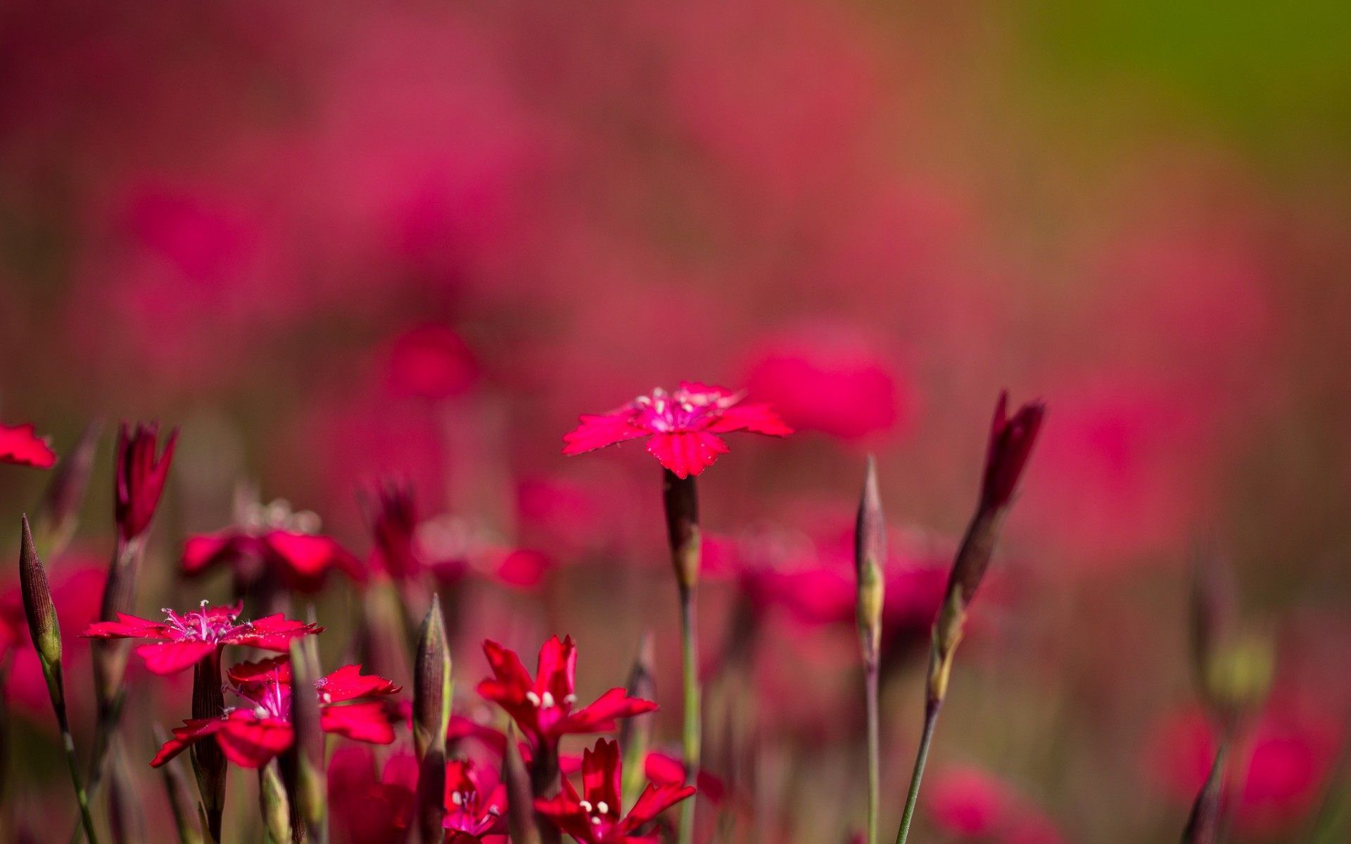 Red flowers wallpaper wallpapers for free download about | HD ...