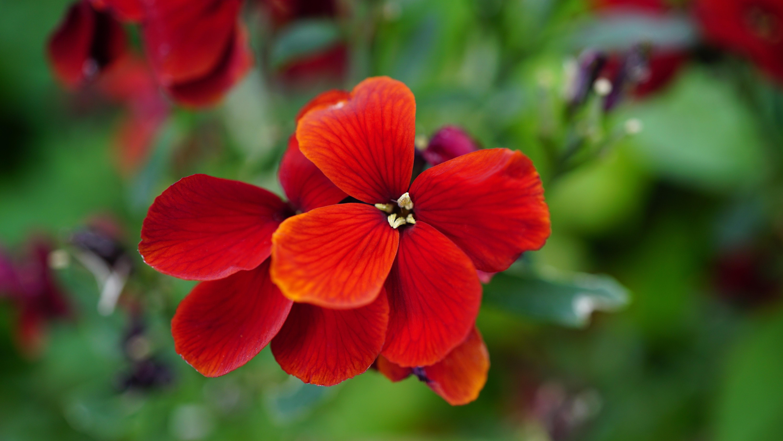 Red flower photo