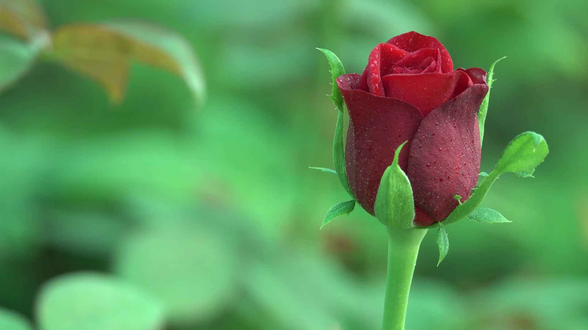 Stunning Pink Rose Flower Bud with Water Drops 4K Nature Background ...