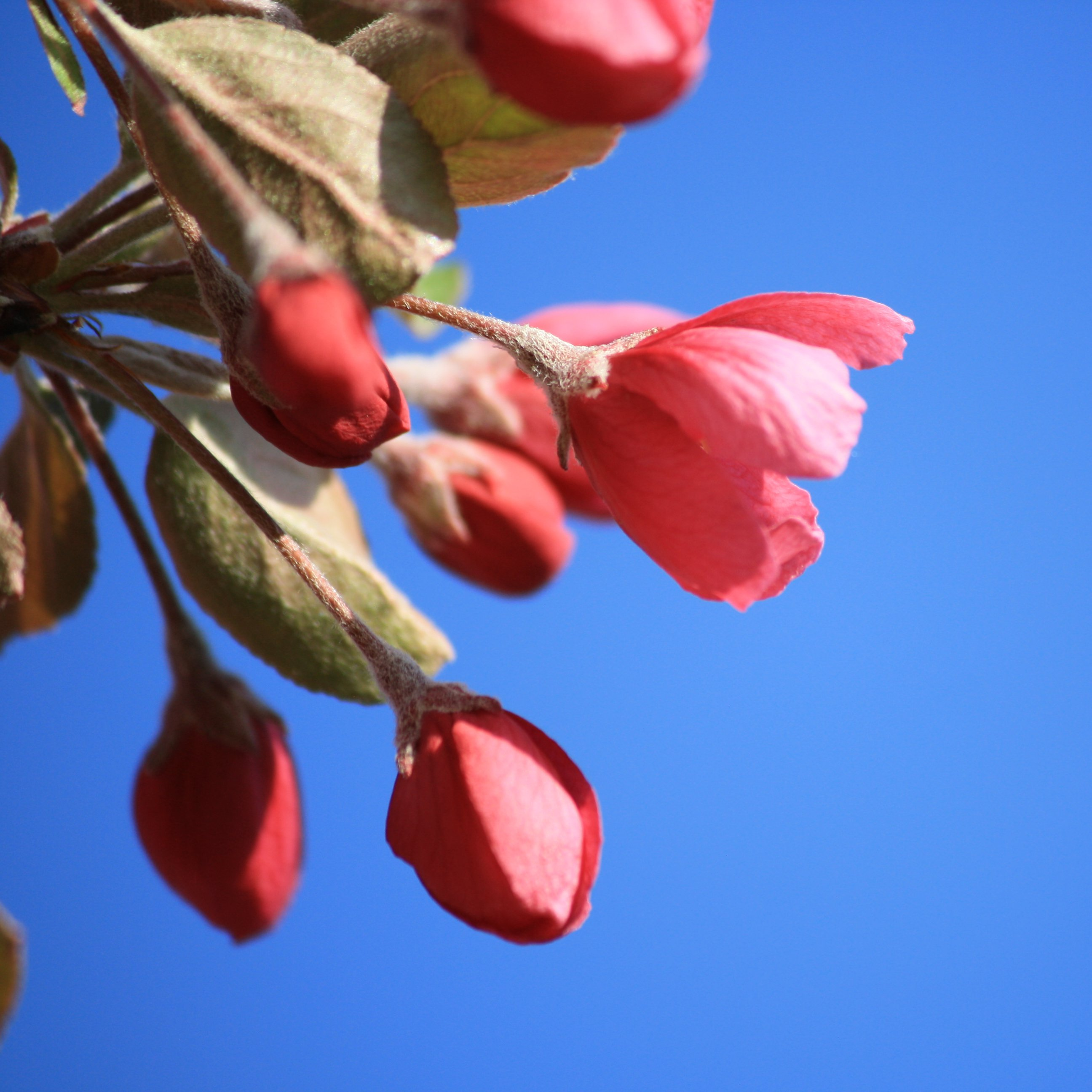 Red Flower Bud Starting to Blossom Picture | Free Photograph ...