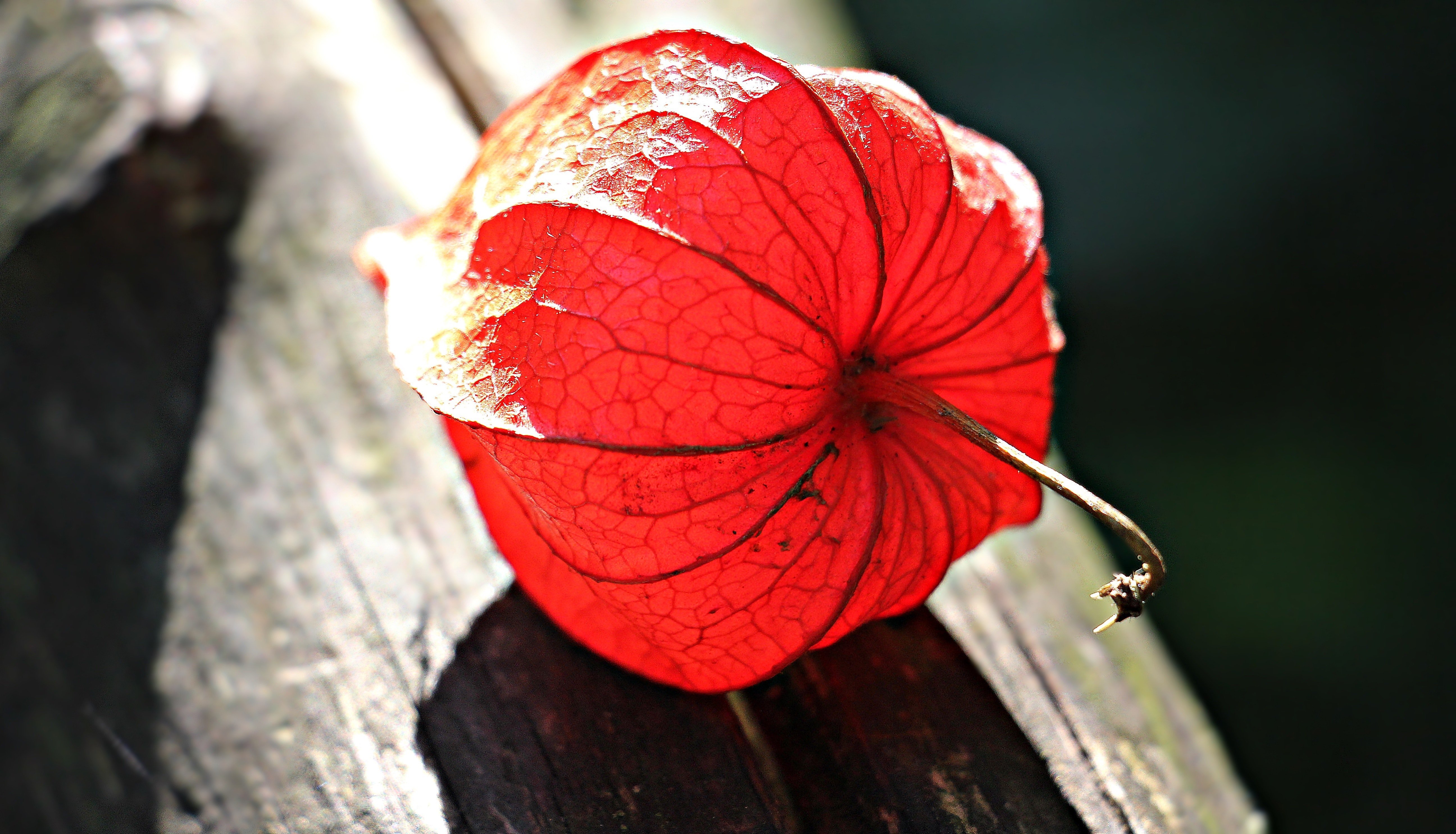 Red flower on gray wooden plank photo