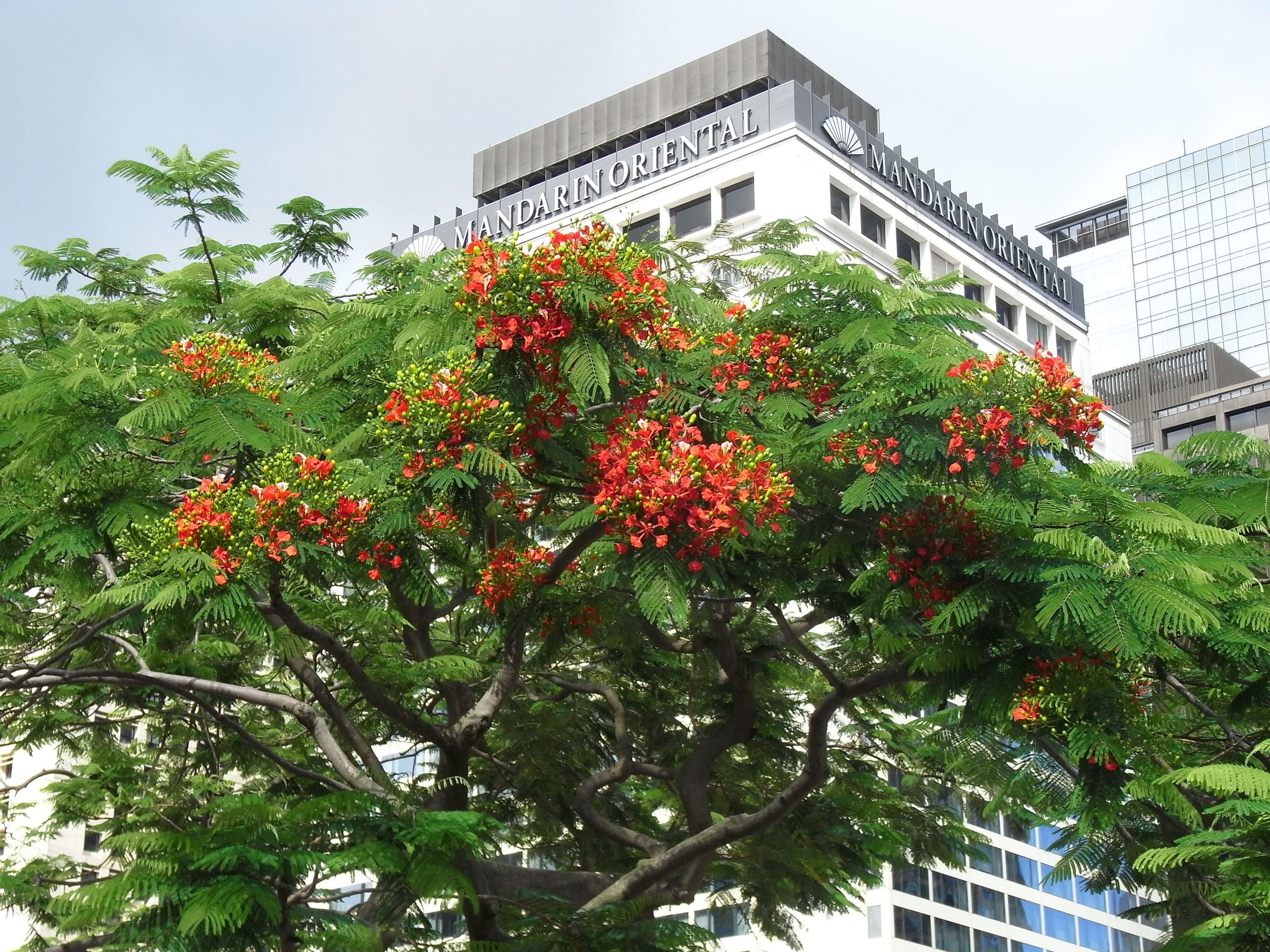 File:HK Central 中環 Edinburgh Place tree green leaves red flowers ...