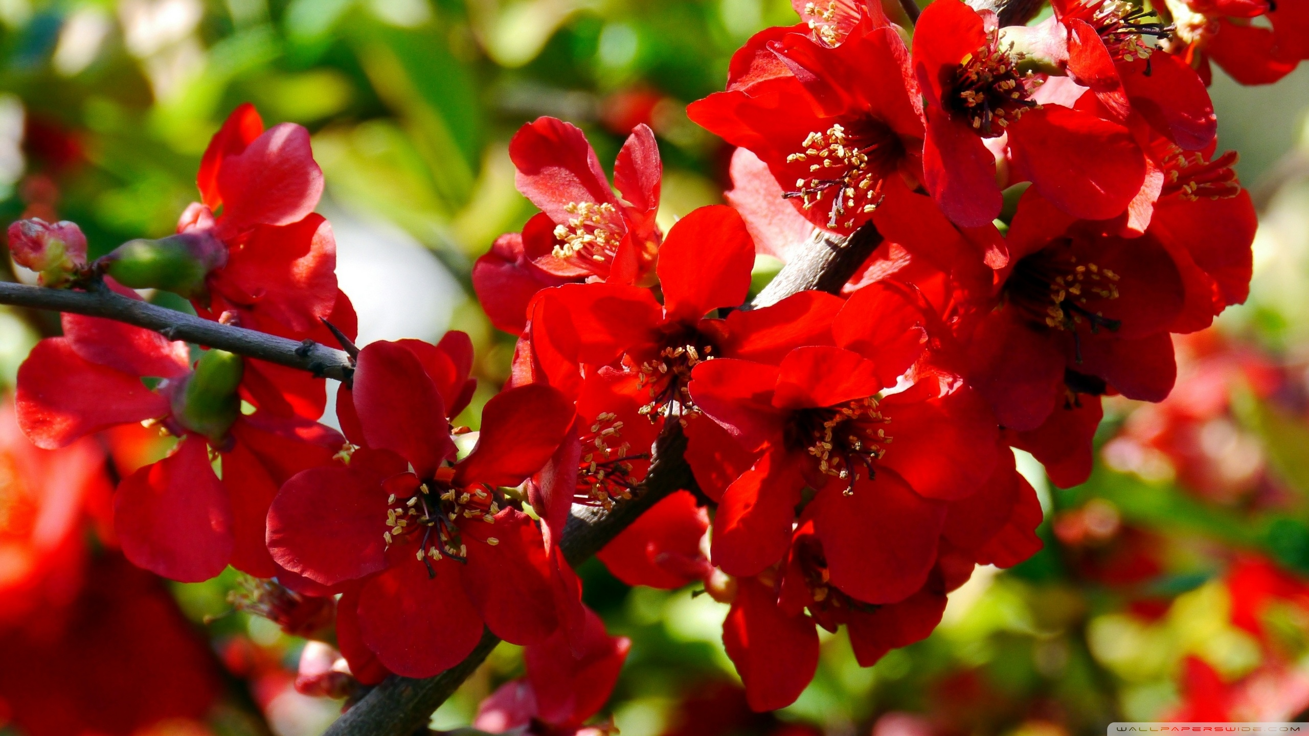 Branches with Red Flowers ❤ 4K HD Desktop Wallpaper for • Wide ...