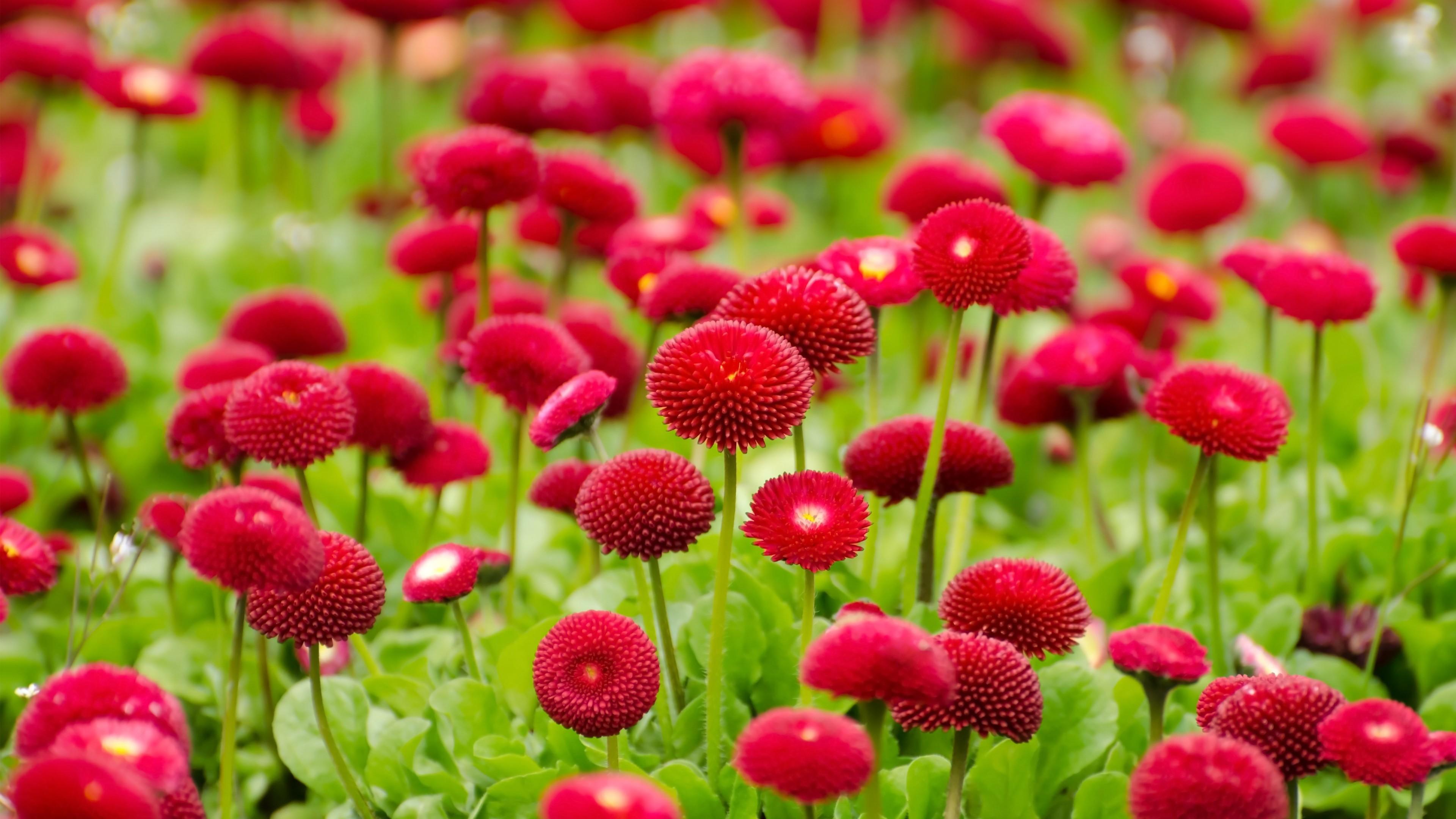 Flowers Summer Red Flowers wallpapers (Desktop, Phone, Tablet ...