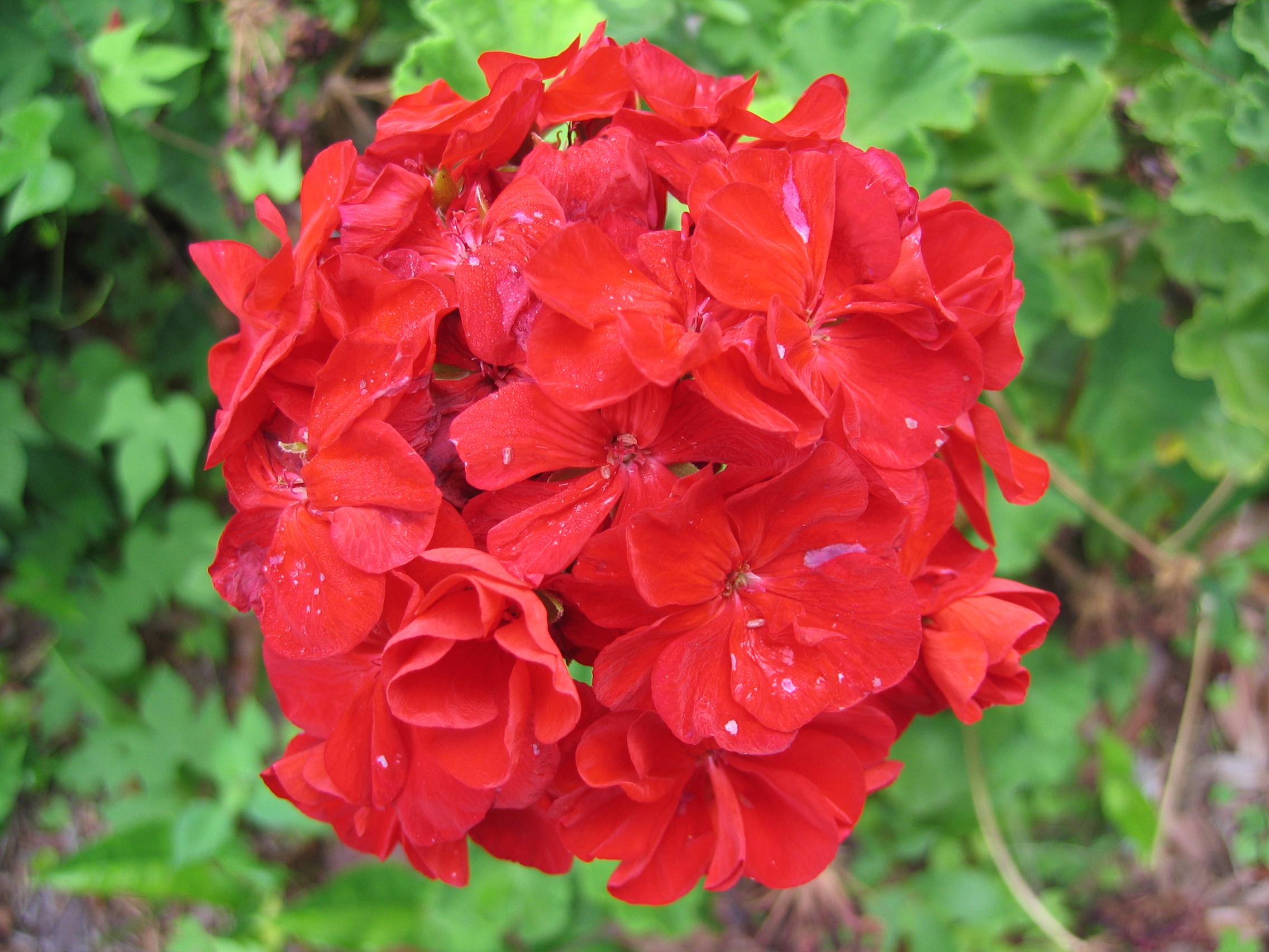 File:Unidentified Red Flowers.JPG - Wikimedia Commons