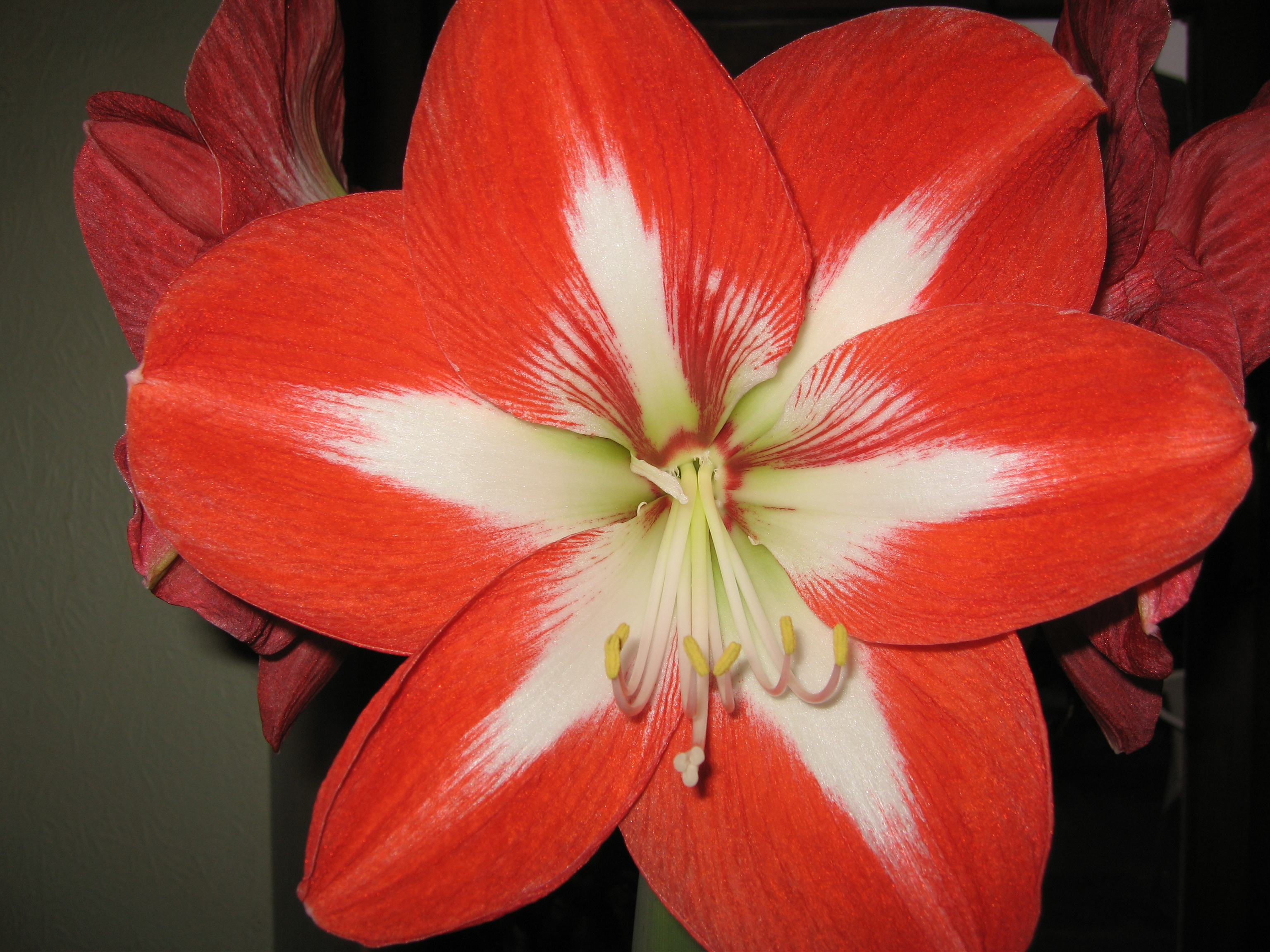 Flowers: Amaryllis-flower-red- - Hippeastrum, Amaryllidaceae ...