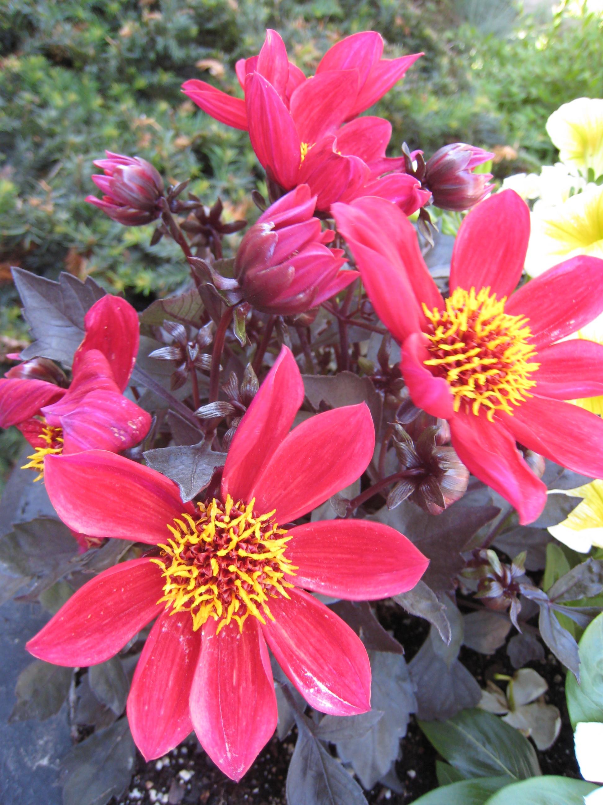 Red flowers closeup, Flowers, Garden, HQ Photo