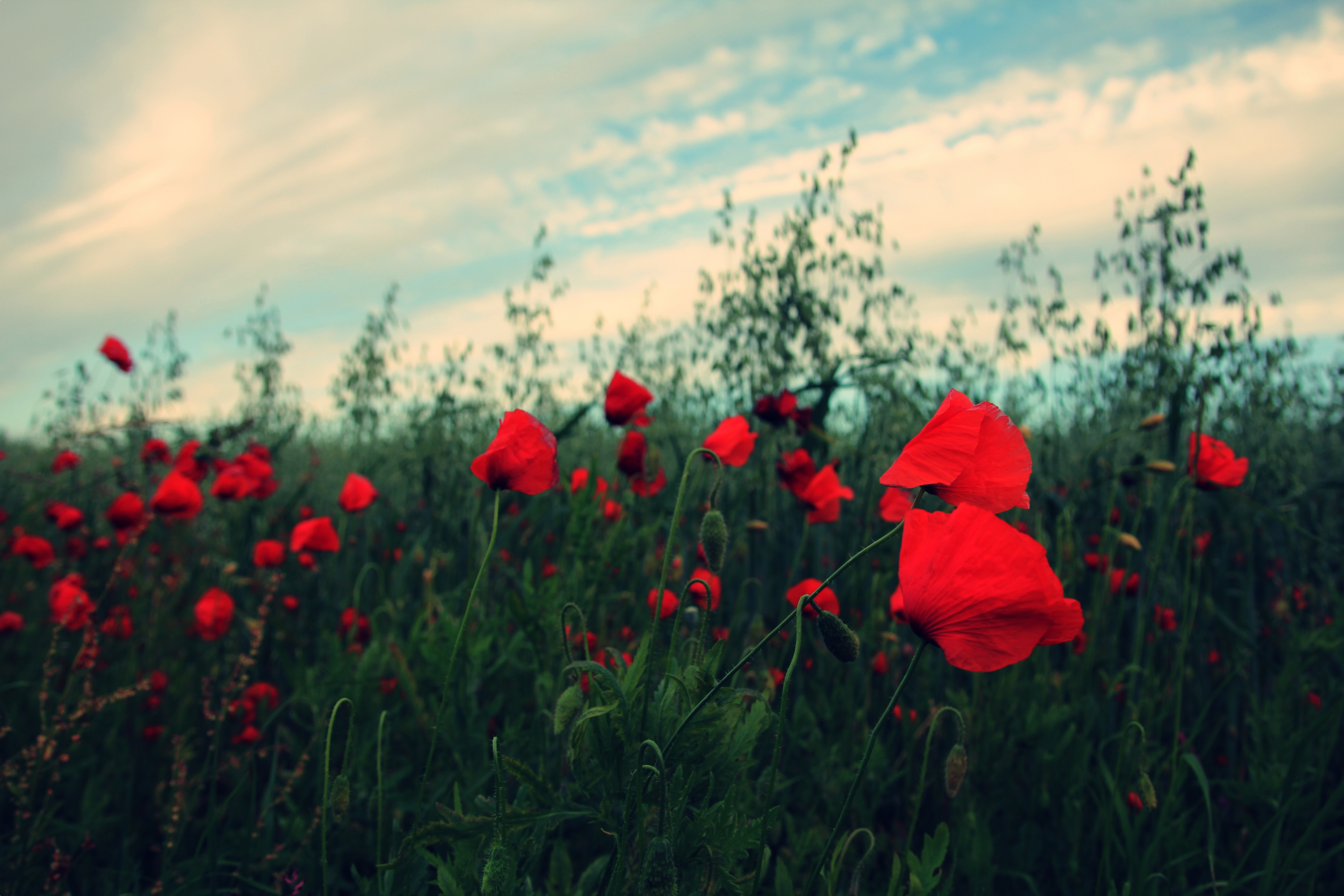 Free Photo Red Flowers Poppy Red Sky Free Download Jooinn