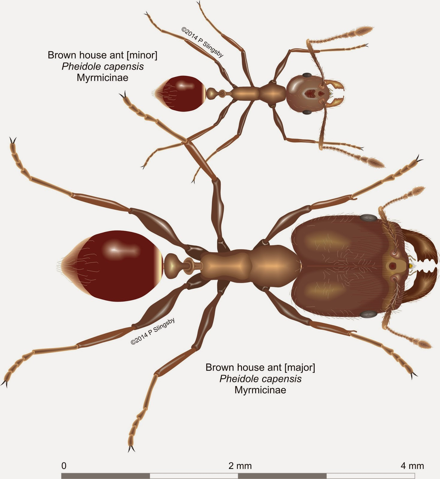 Ants of Southern Africa -: Pheidole species: the House or Big-headed ...