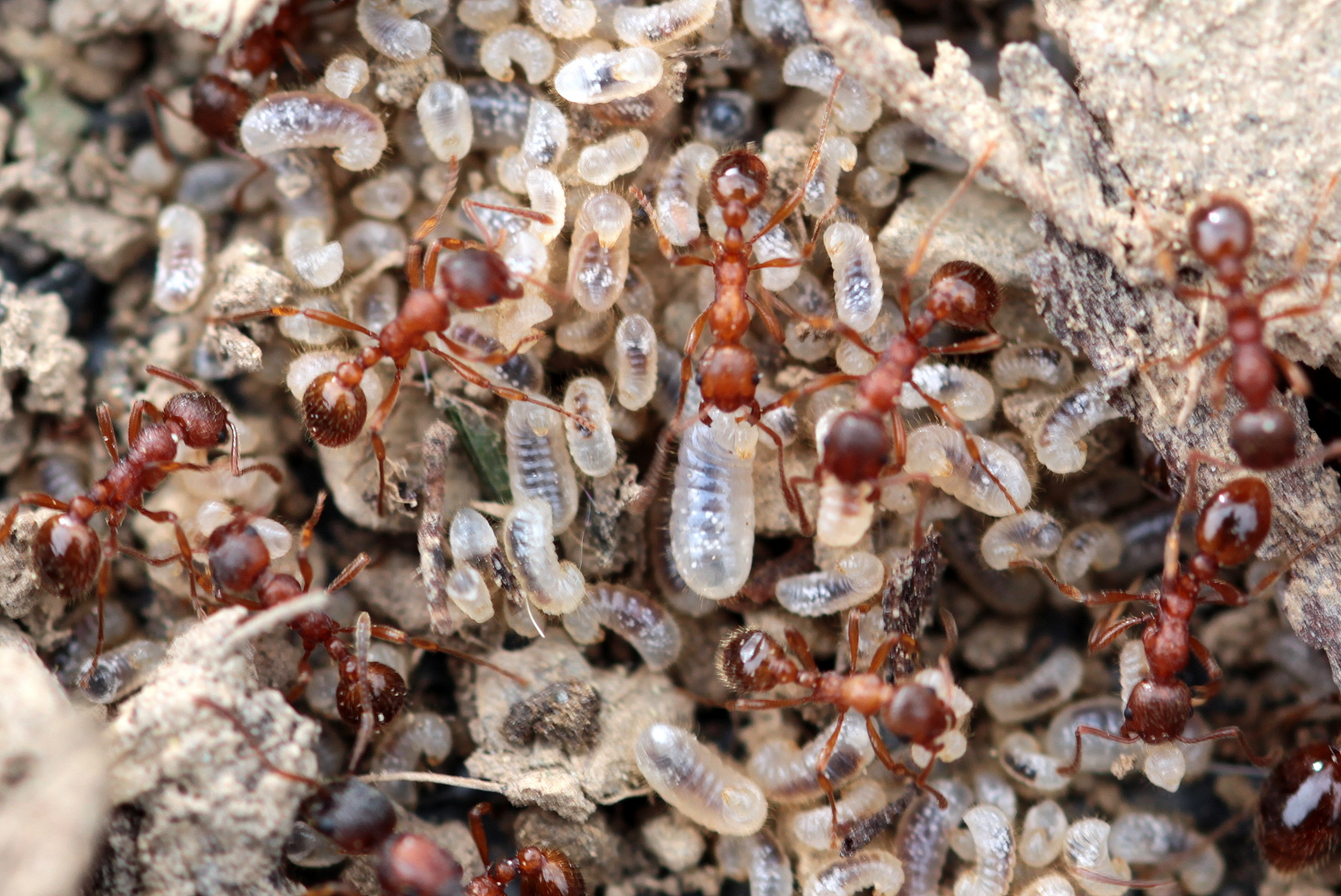 Red Garden Ant, Animal, Ant, Garden, Insect, HQ Photo