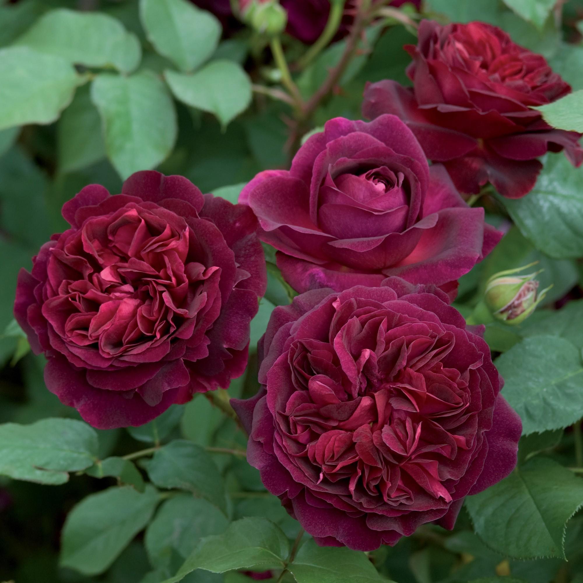 Red Roses - David Austin Roses