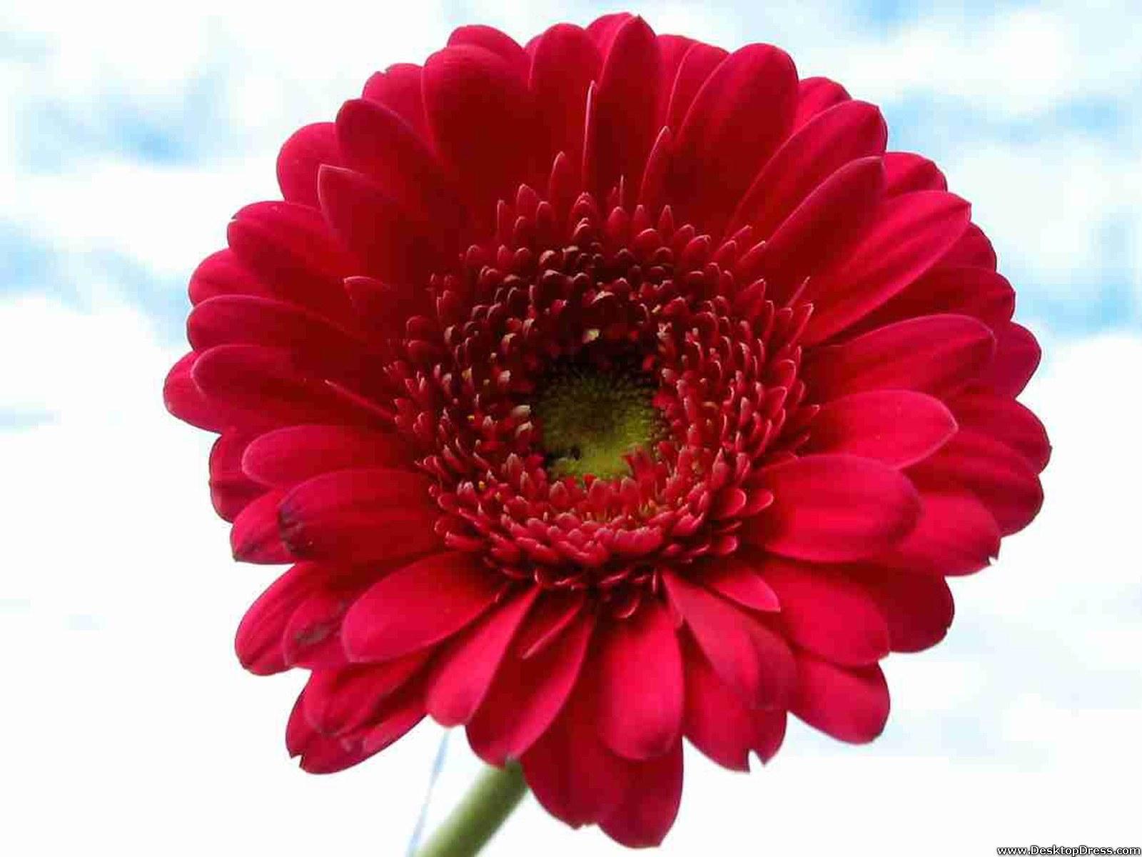 Desktop Wallpapers » Flowers Backgrounds » Red Gerbera Daisy » www ...
