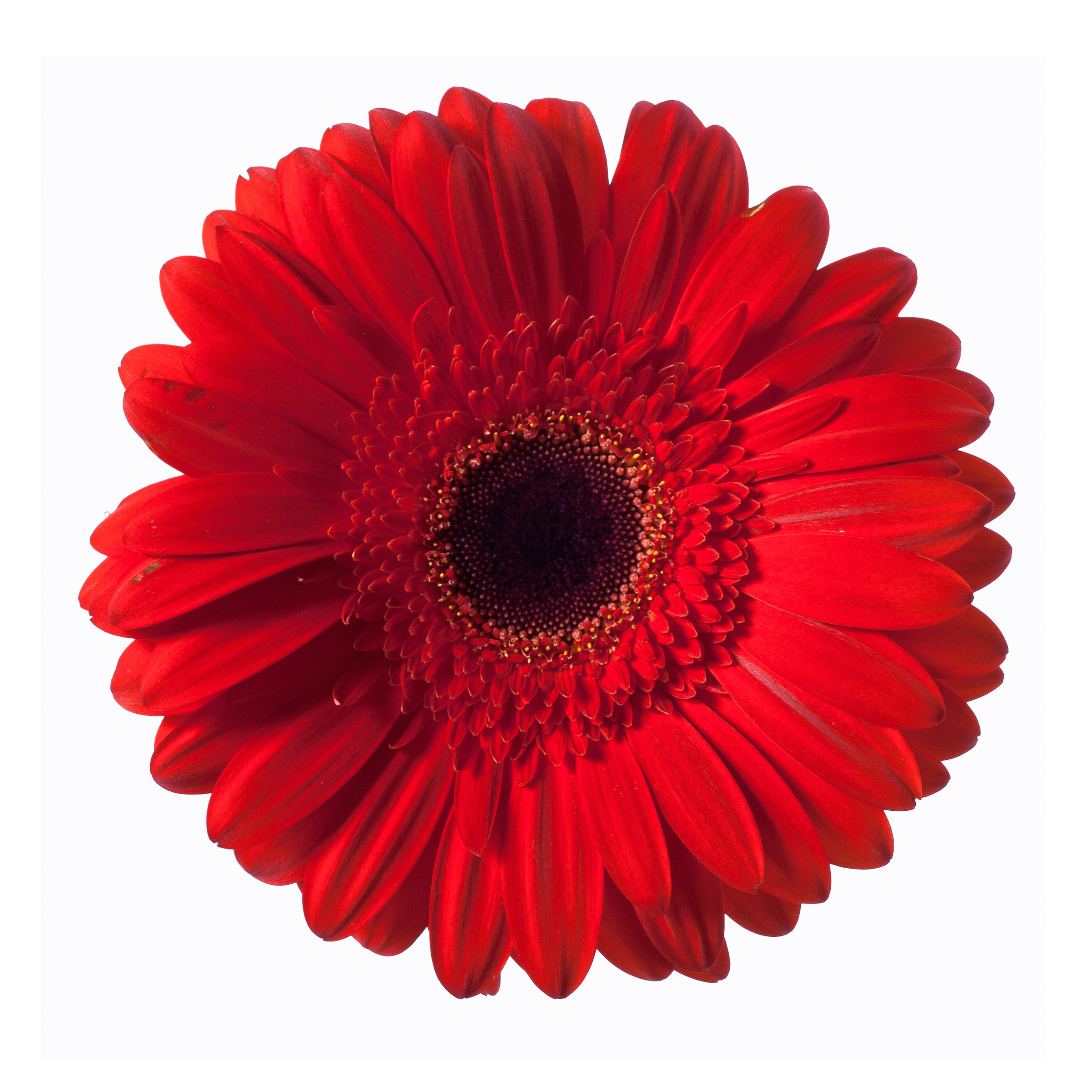 Red gerbera flower photo