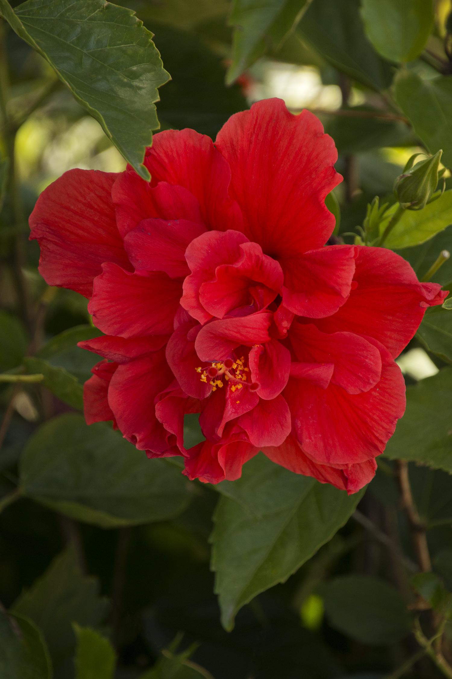 Red Dragon® Hibiscus - Monrovia - Red Dragon® Hibiscus