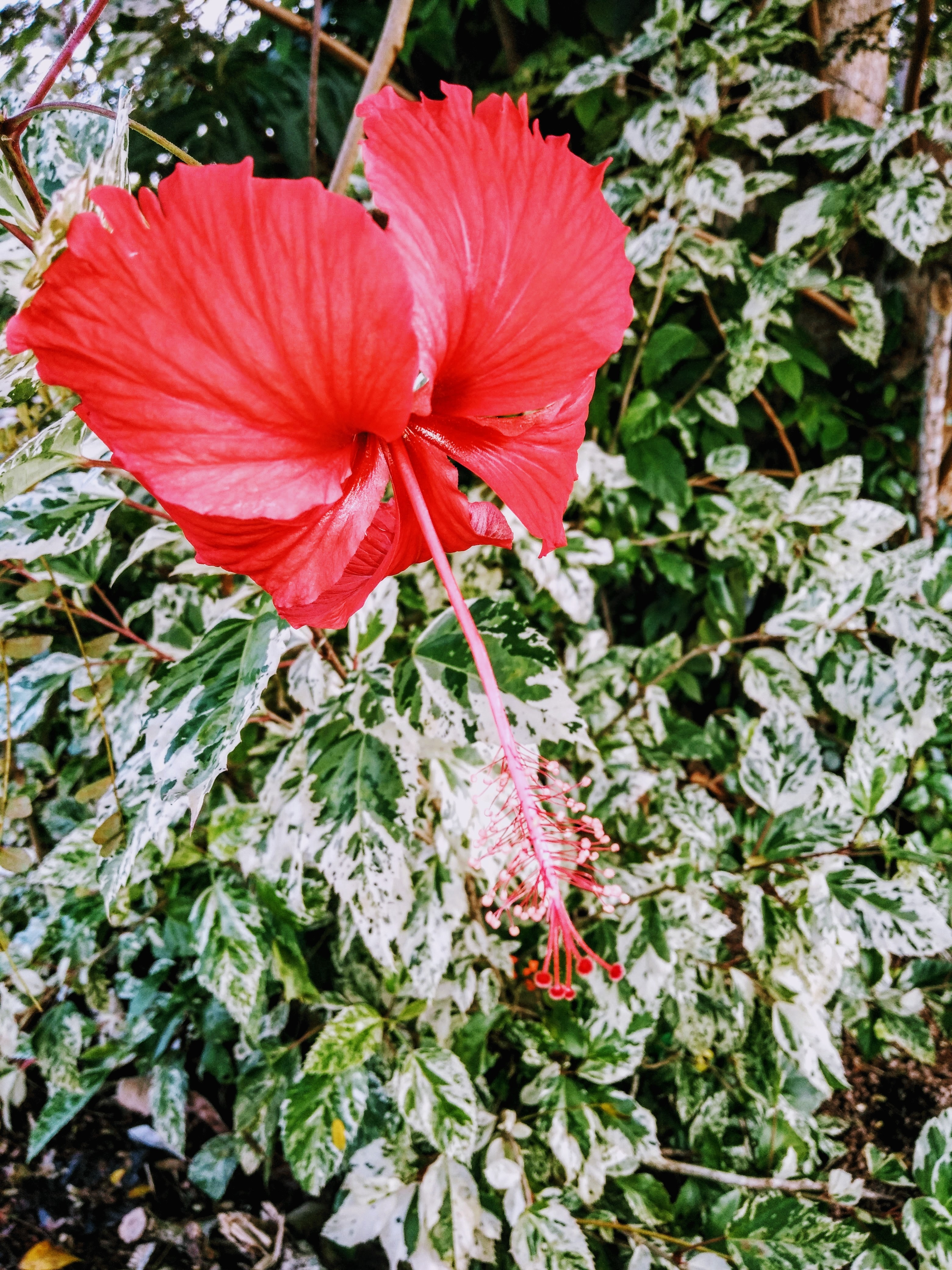 Free Photo Red Hibiscus Leaves Hibiscus Growth Free Download