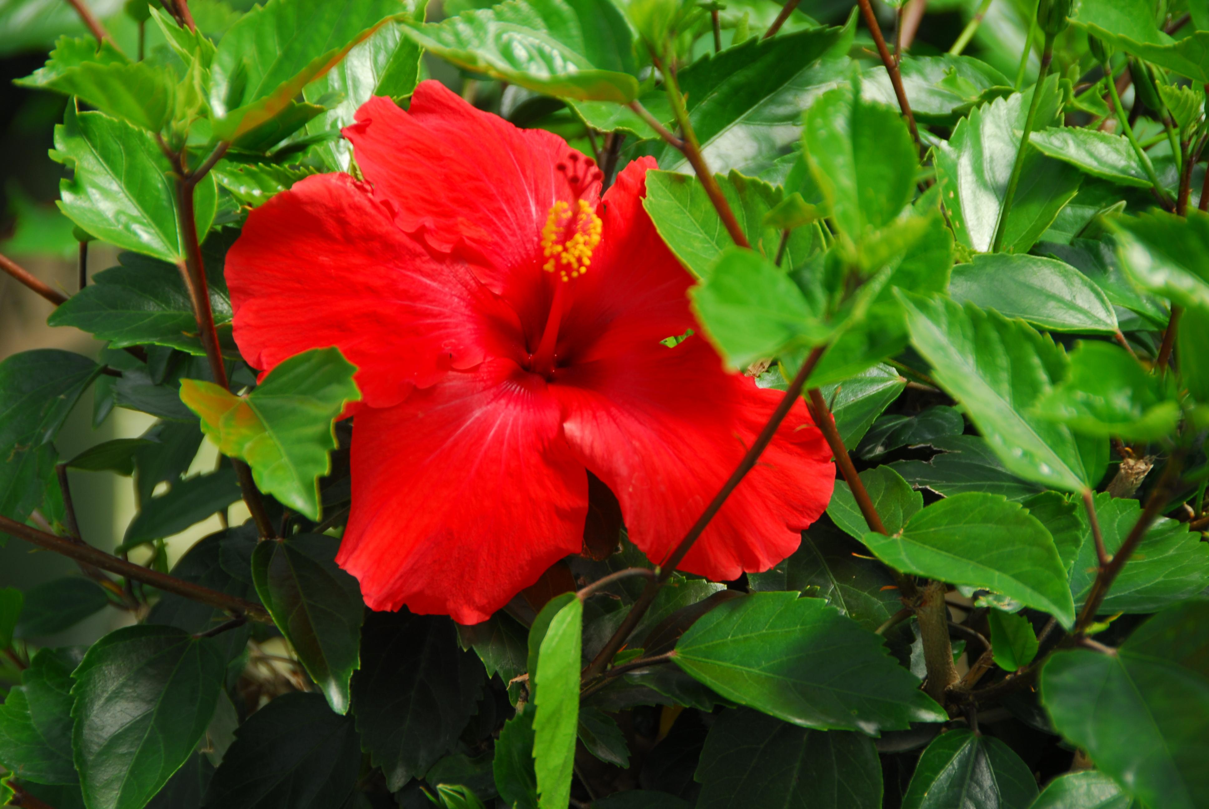 Brilliant Hibiscus - Monrovia - Brilliant Hibiscus