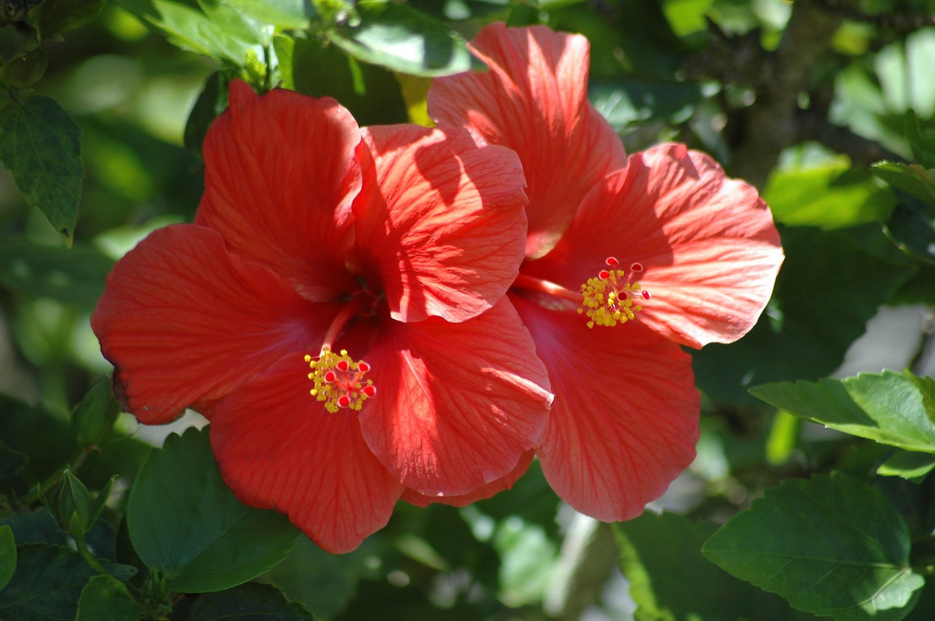 Free Photo Red Hibiscus Flower Plant Pink Red Free Download