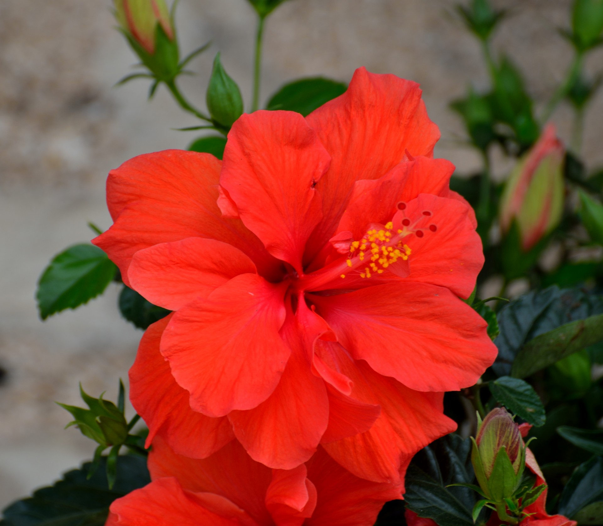 Free photo red hibiscus flower blossom pink tropics free download jooinn - Hibiscus images download ...