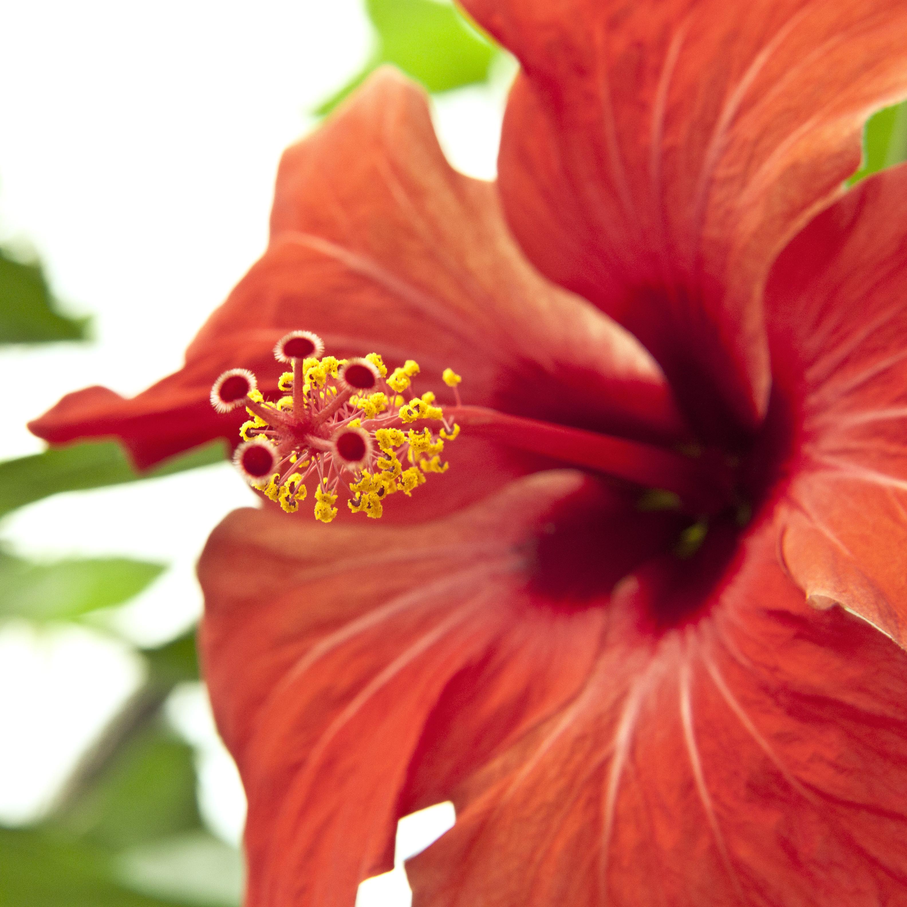 Red Hibiscus, Close, Flower, Hibiscus, Macro, HQ Photo