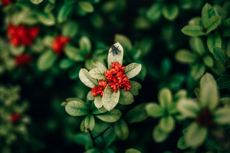Red ixora flowers closeup photo