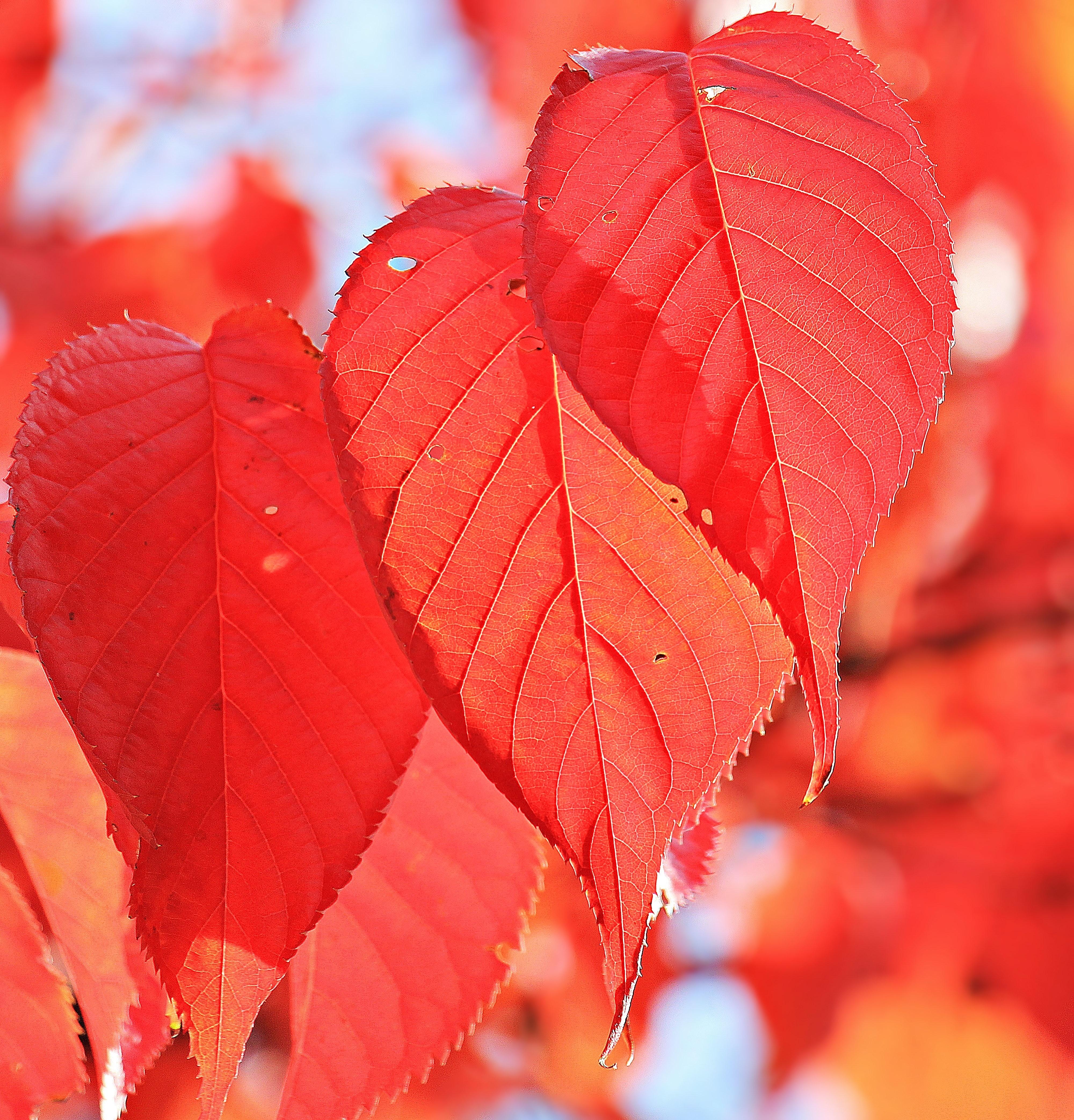Red Leaf, Focus, Wood, Season, Red, HQ Photo