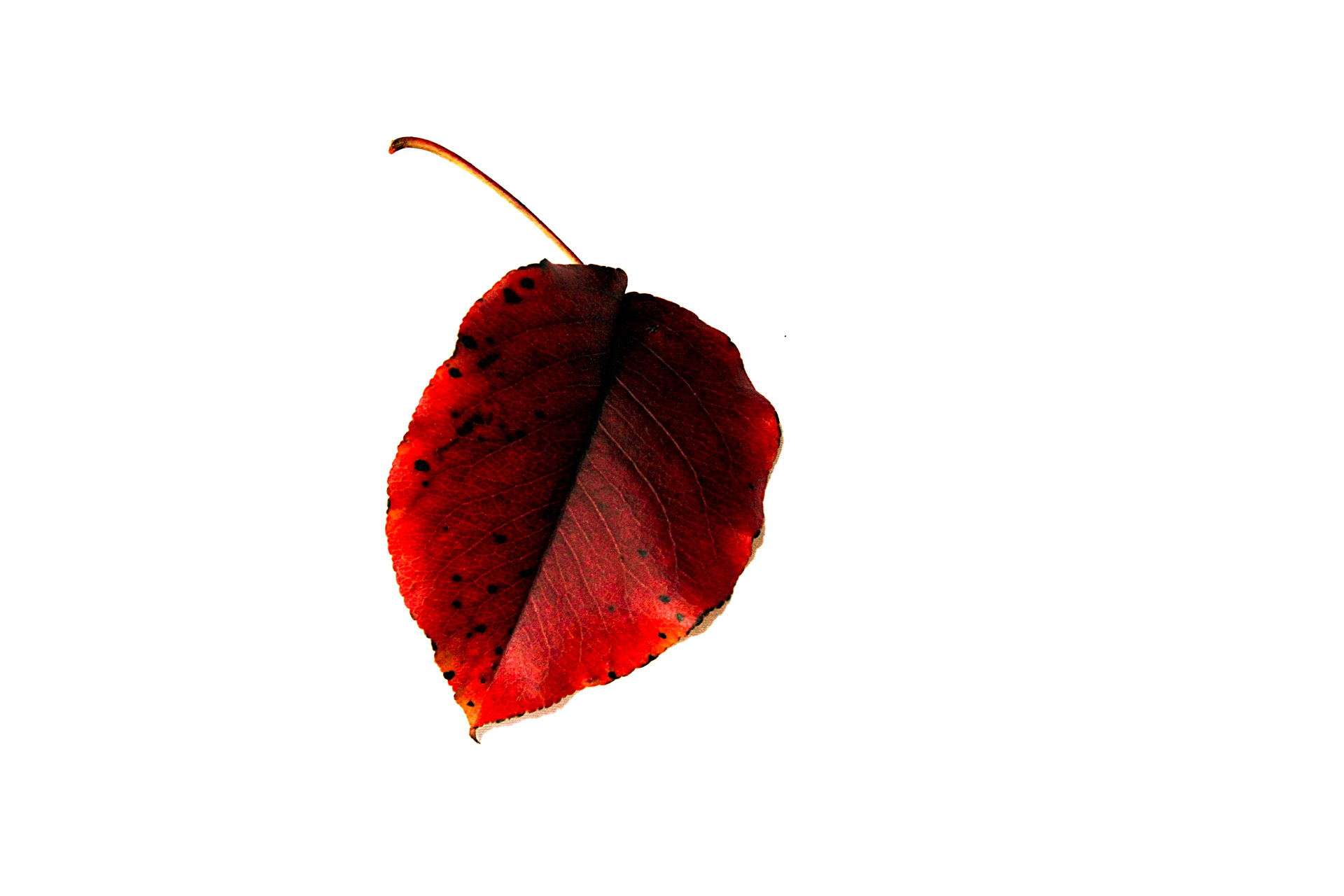 Red Leaf Free Stock Photo - Public Domain Pictures