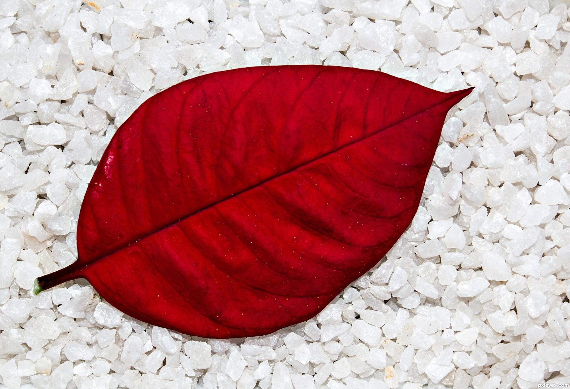 A single red leaf picture, by friiskiwi for: single leaf 2 ...